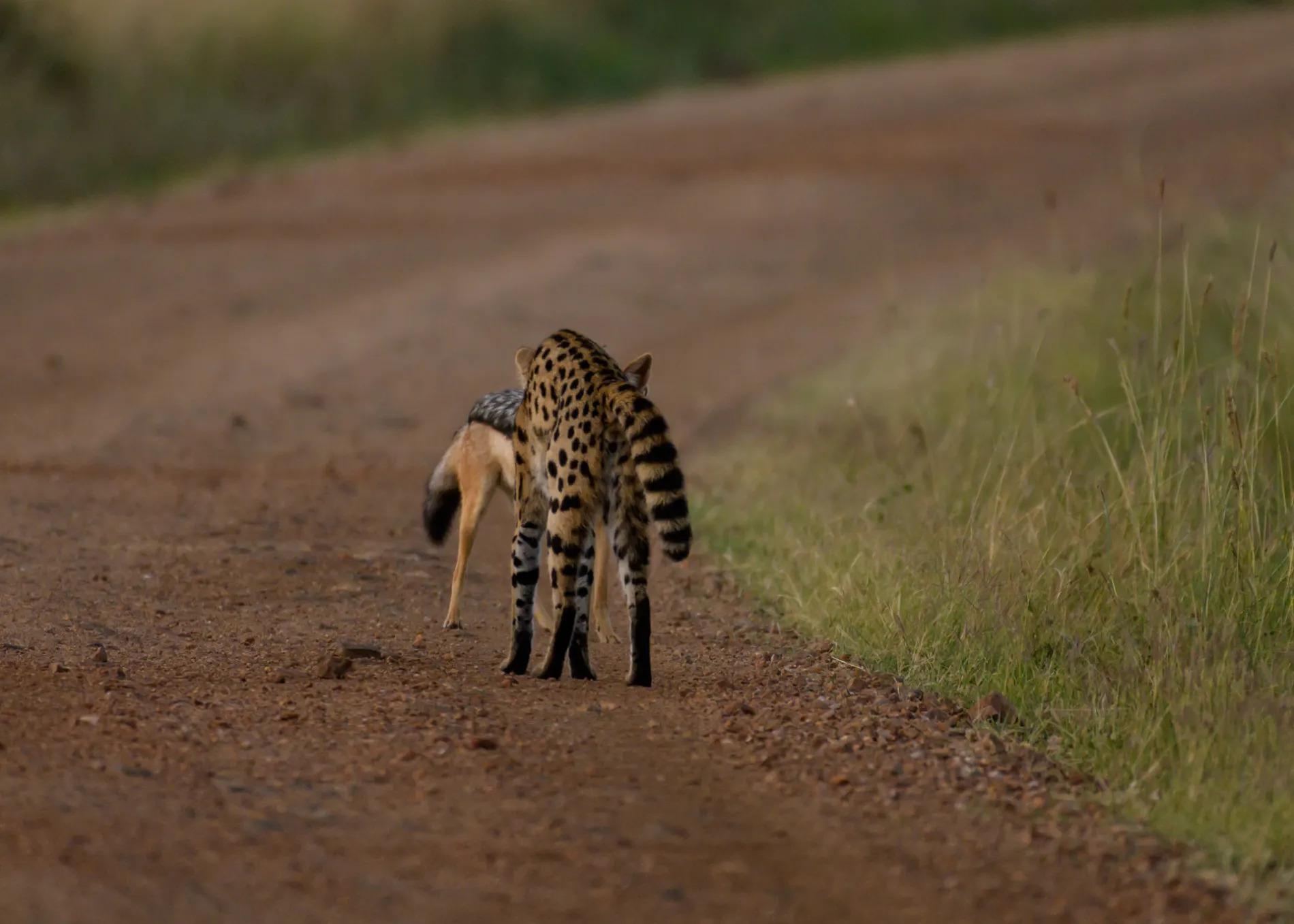 Serval and Jackal 4