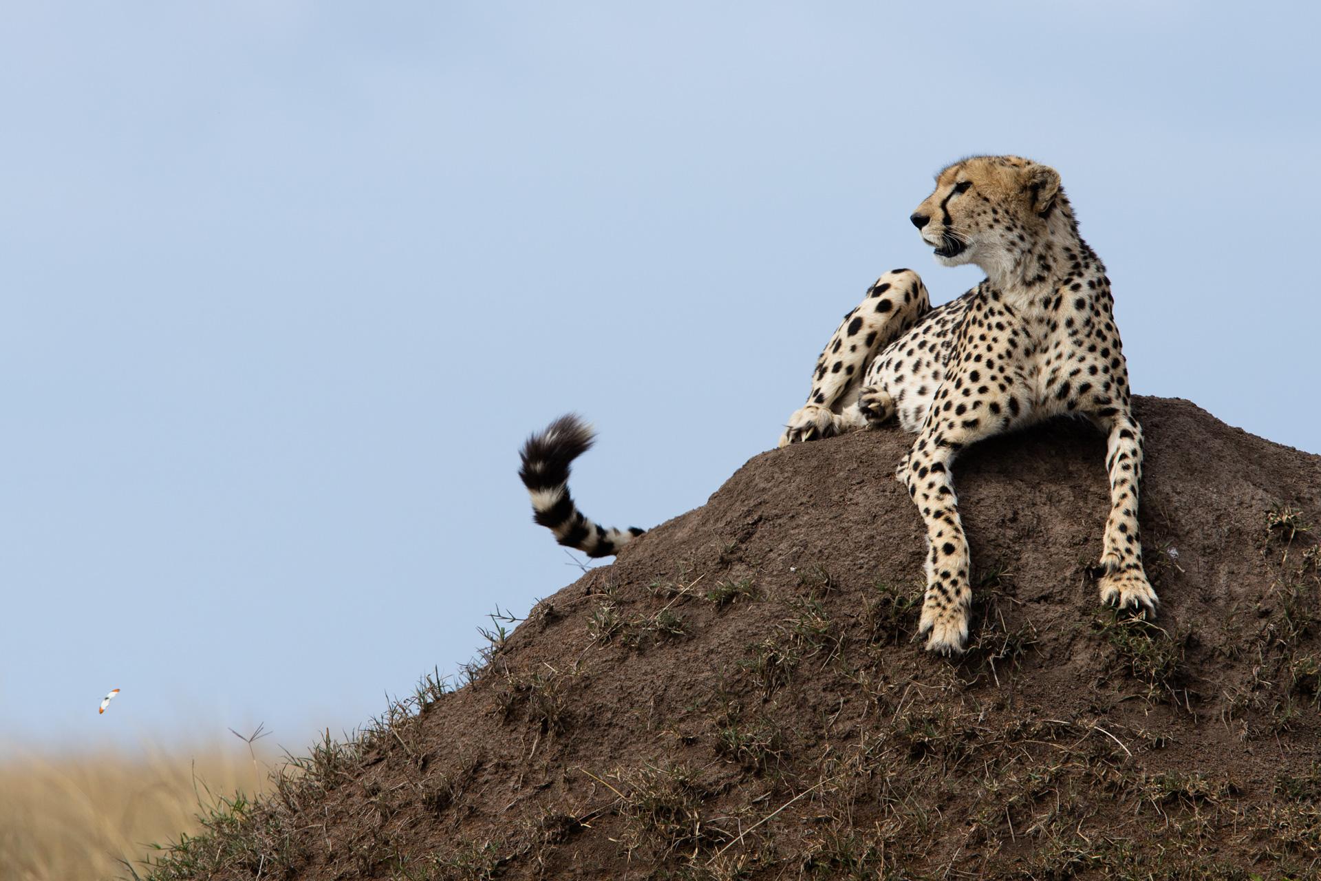 Cheetah Tail flick