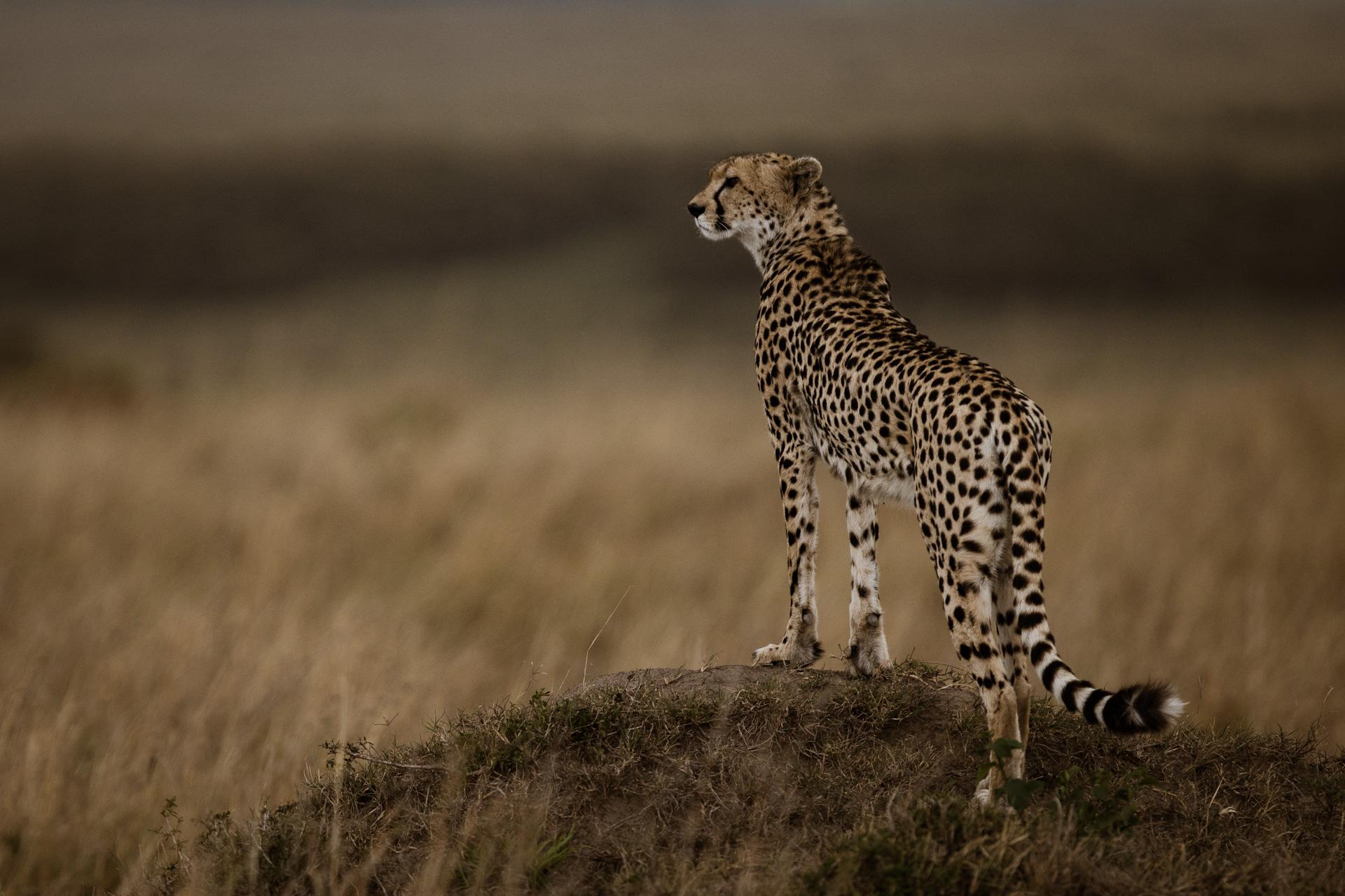 Cheetah standing on mound