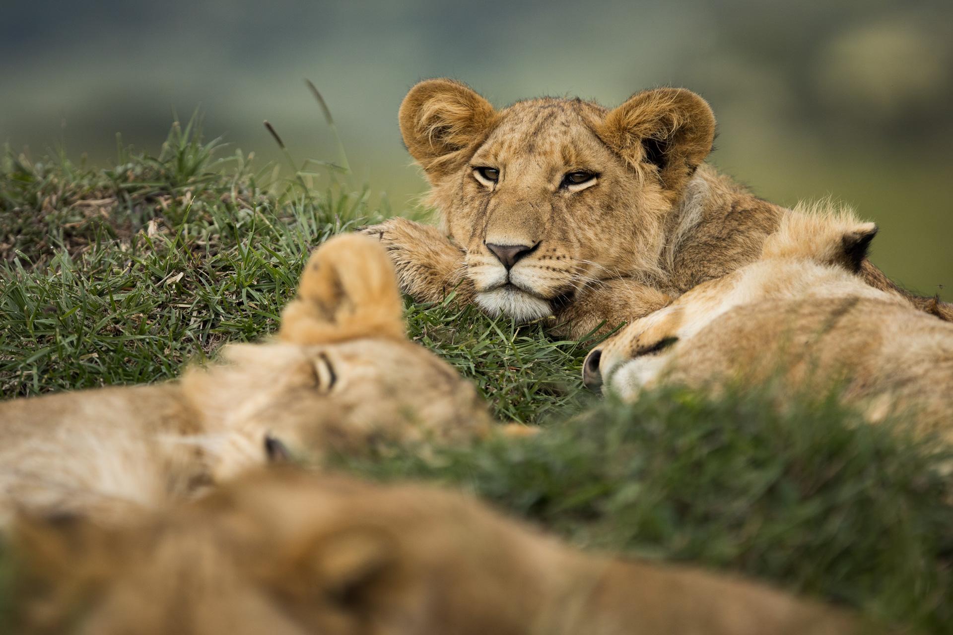 Lion sleeping