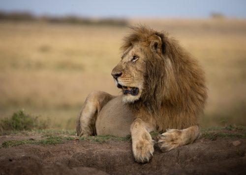 Mrefu, one of the two males often found around Eland Plains