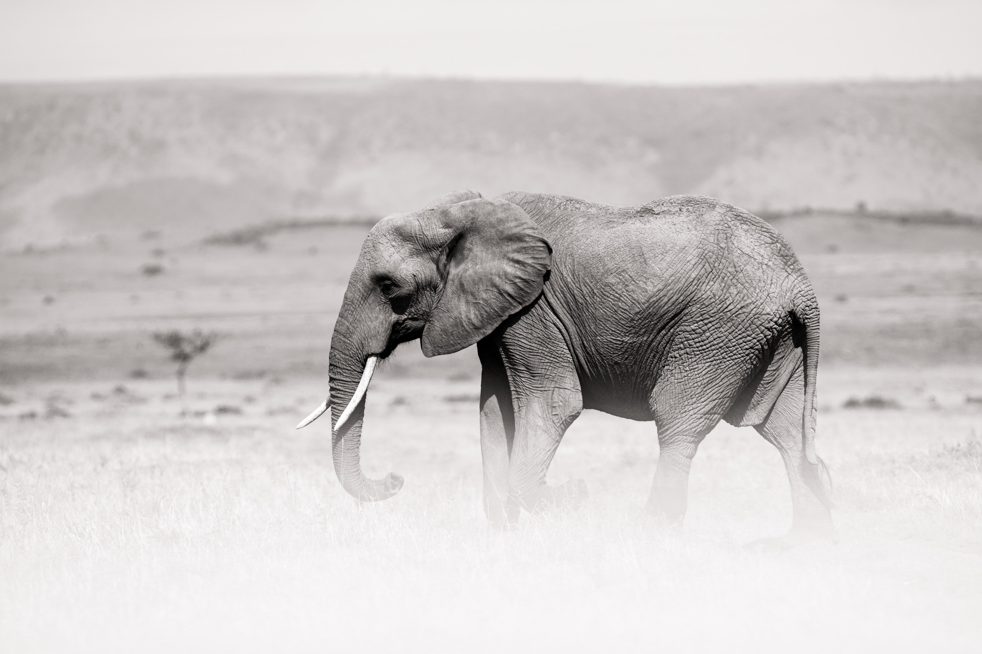 Elephant in white
