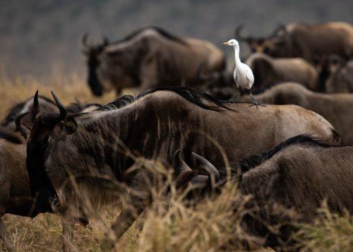 A cattle egret enjoys a free ride