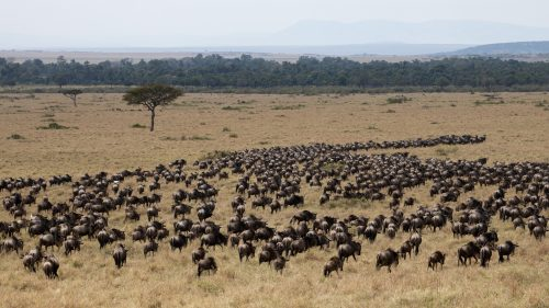 A large migratory herd, a common sighting at this time of year