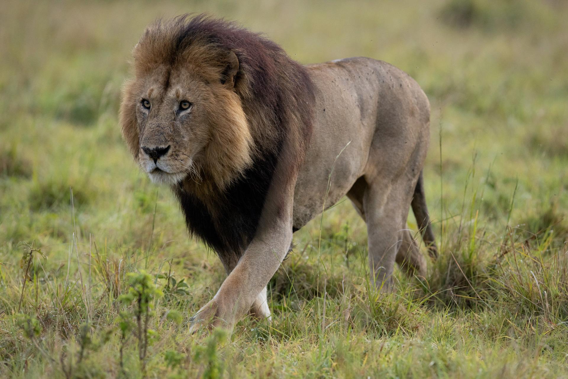 Short tail male lion