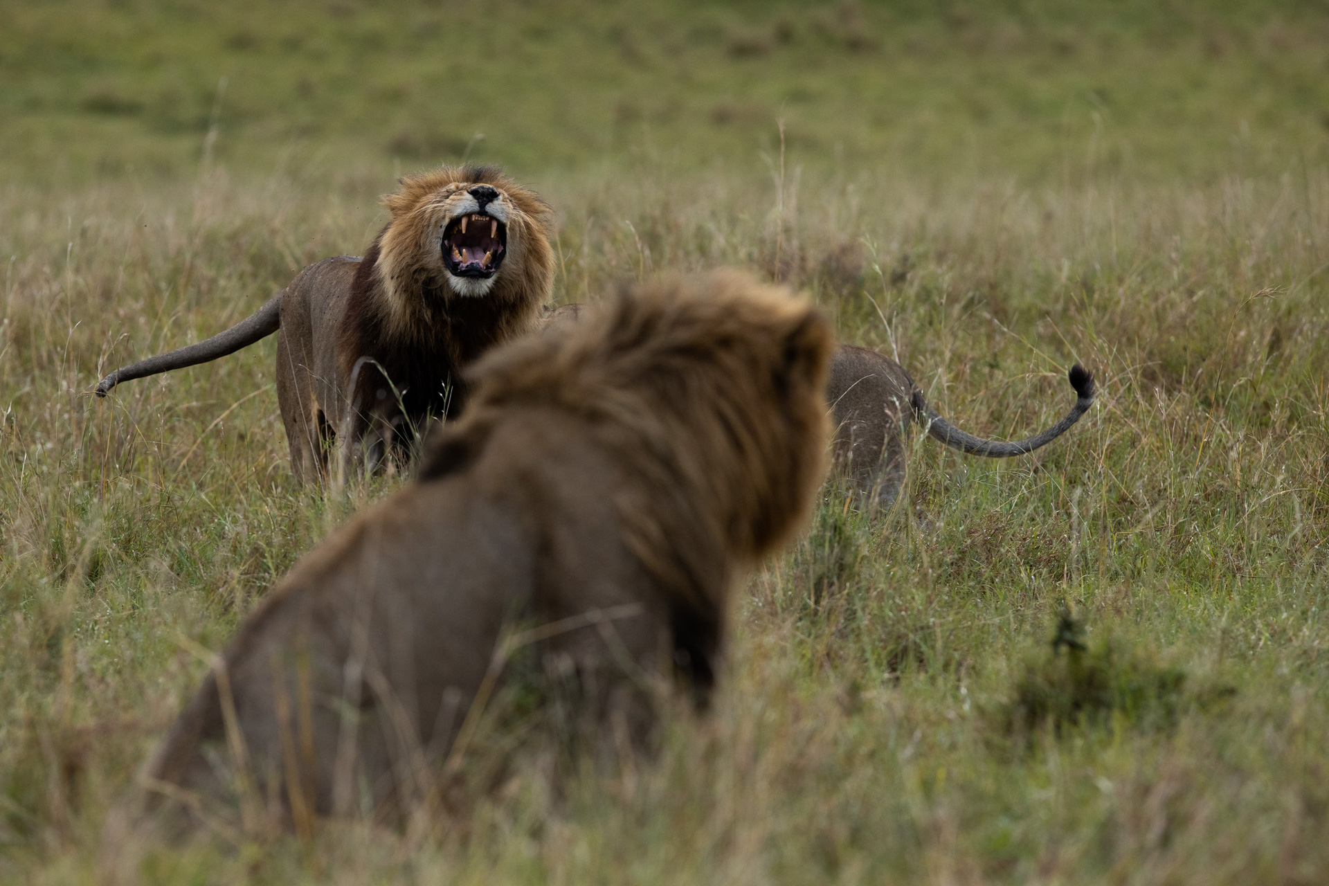 Male lions meeting