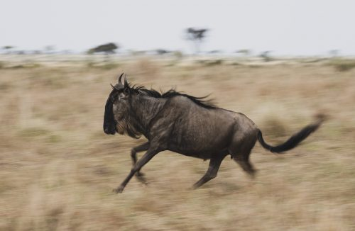 A slow pan of a wildebeest