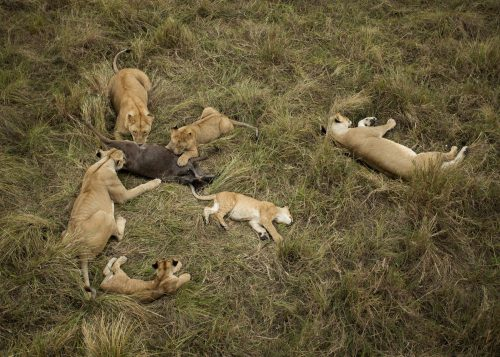 The Owino Pride enjoys a meal of a young wildebeest