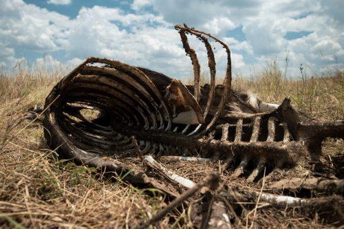 The carcass of an unlucky wildebeest