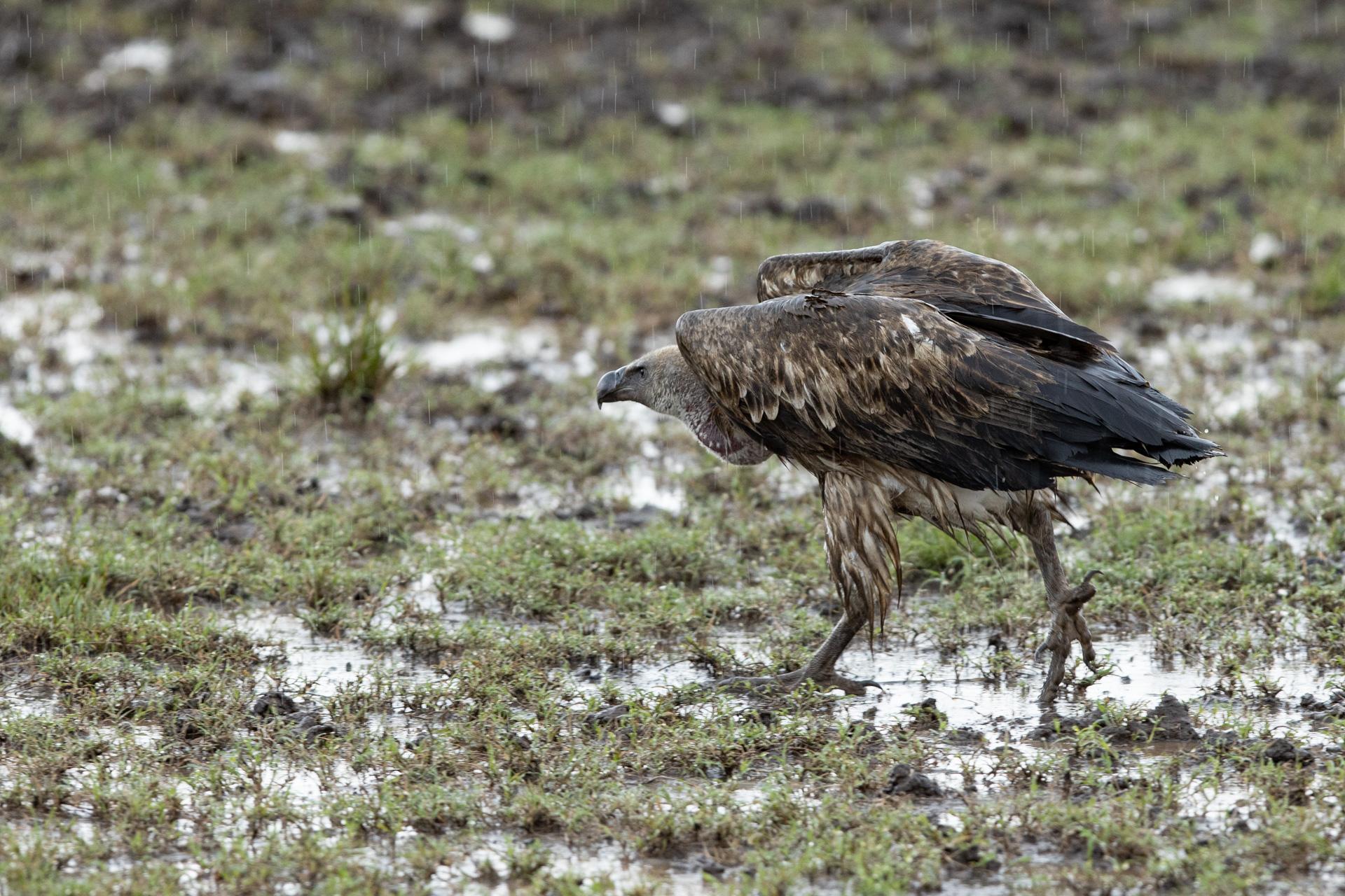Wet Vulture