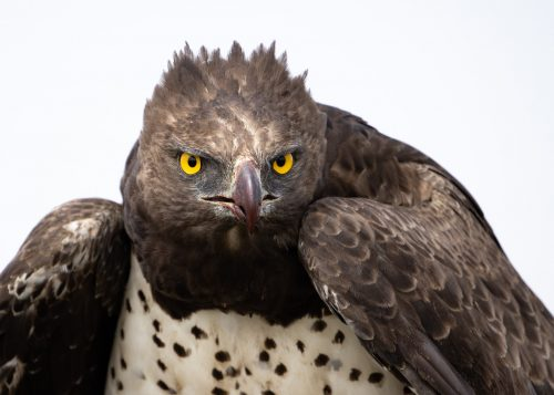 A wonderful encounter; up close with a martial eagle