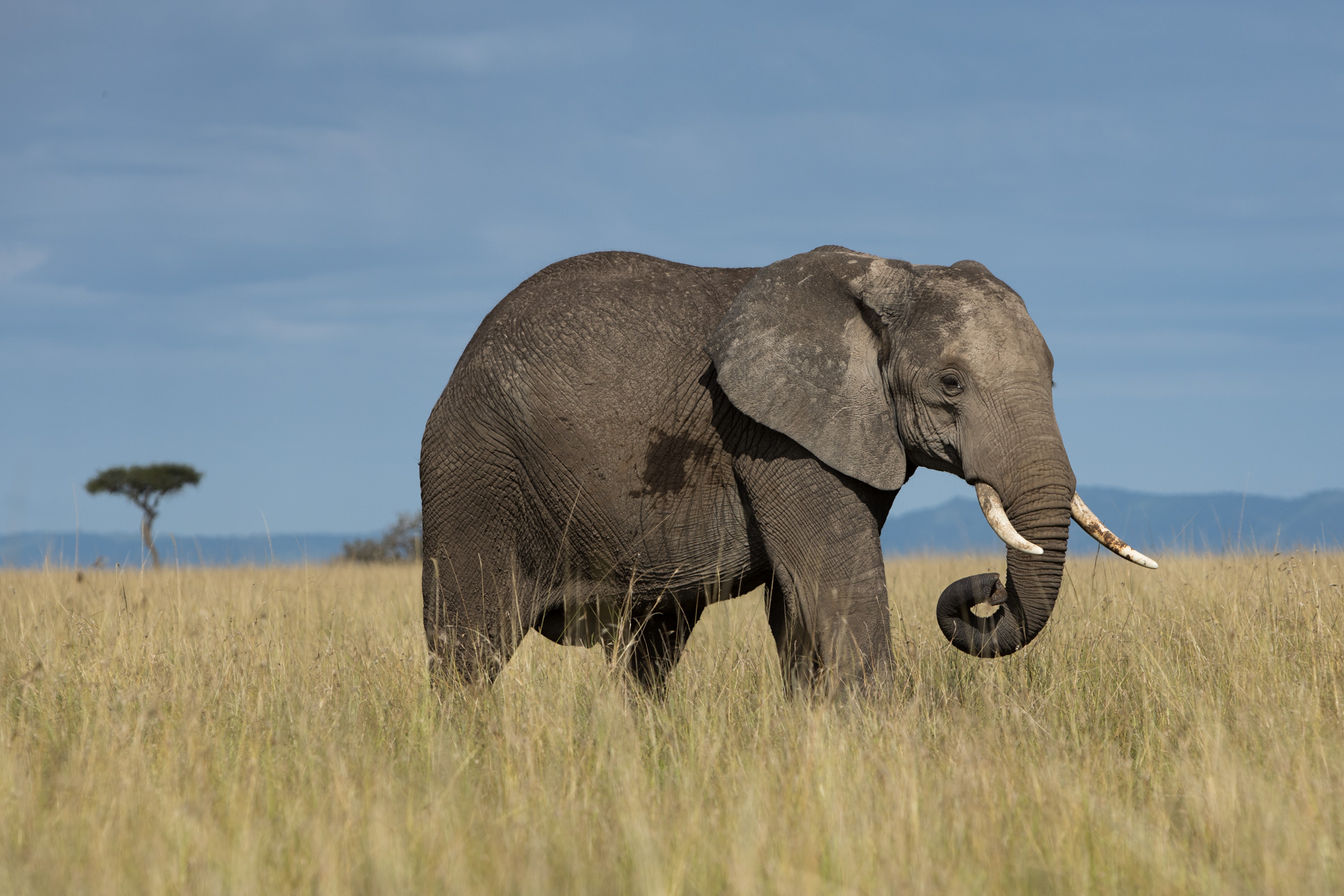 Elephant in grass
