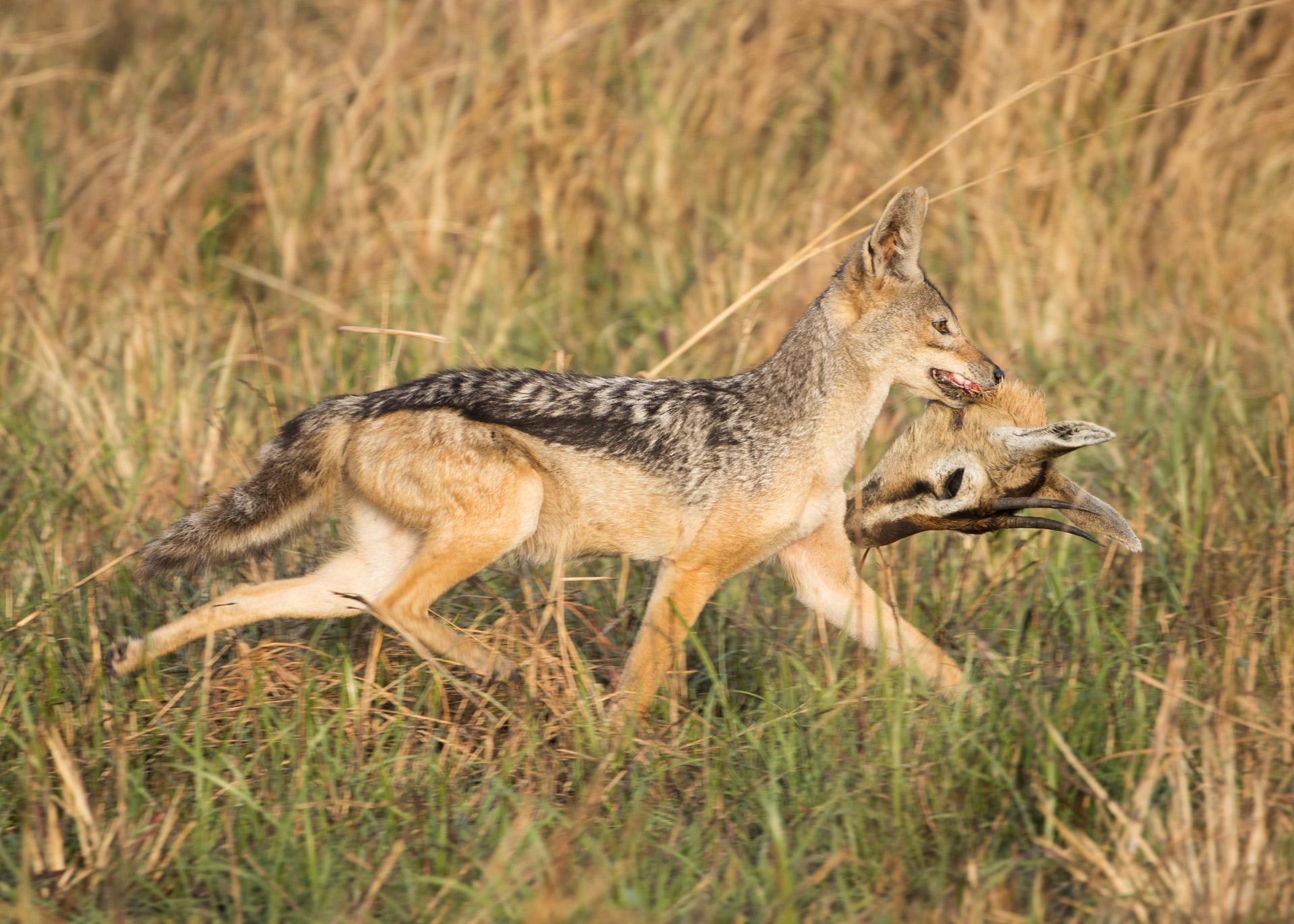 Jackal with impala head