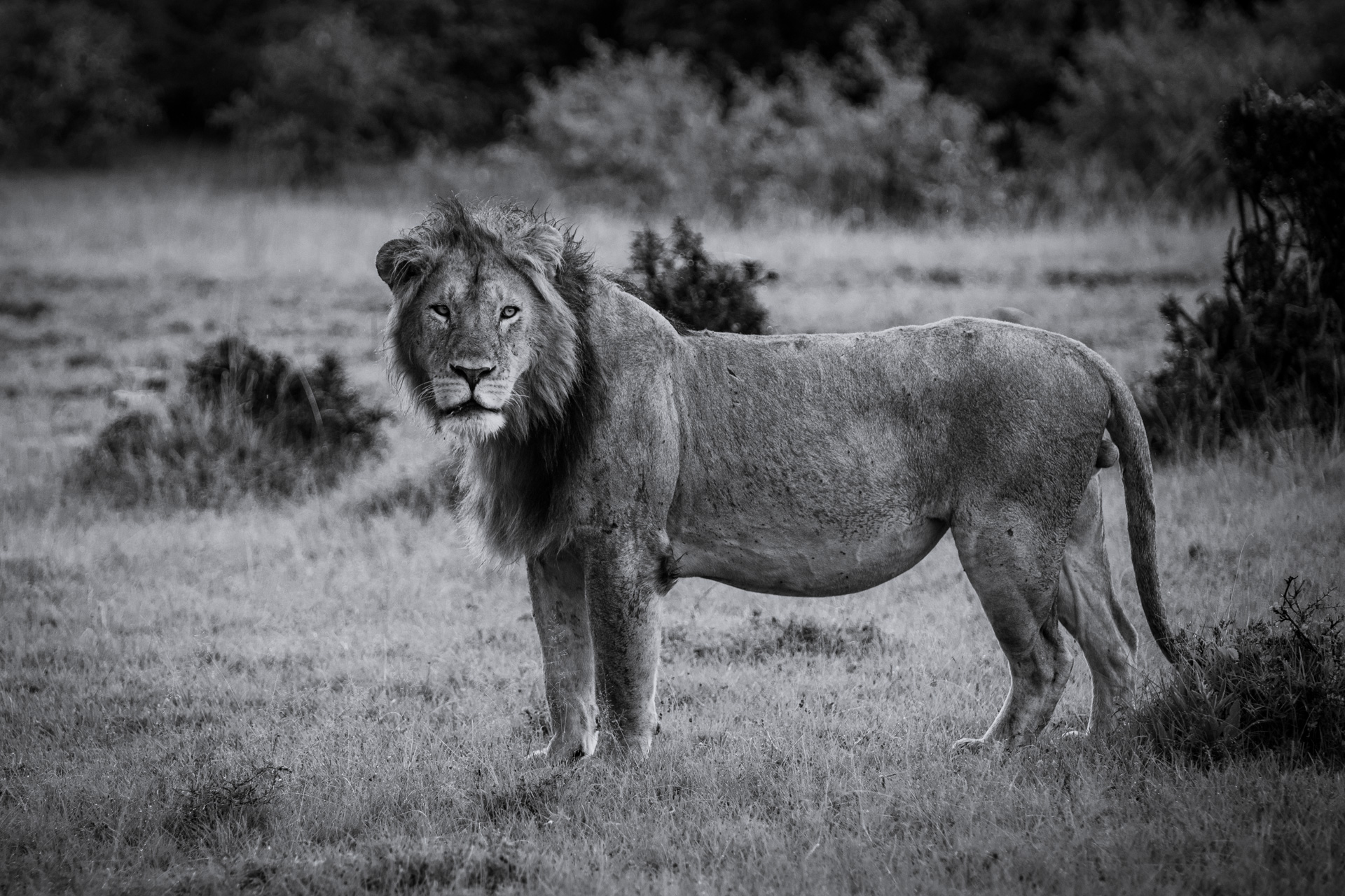 BW Lion