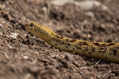 The last week of June seems to be a good time to see puff adders