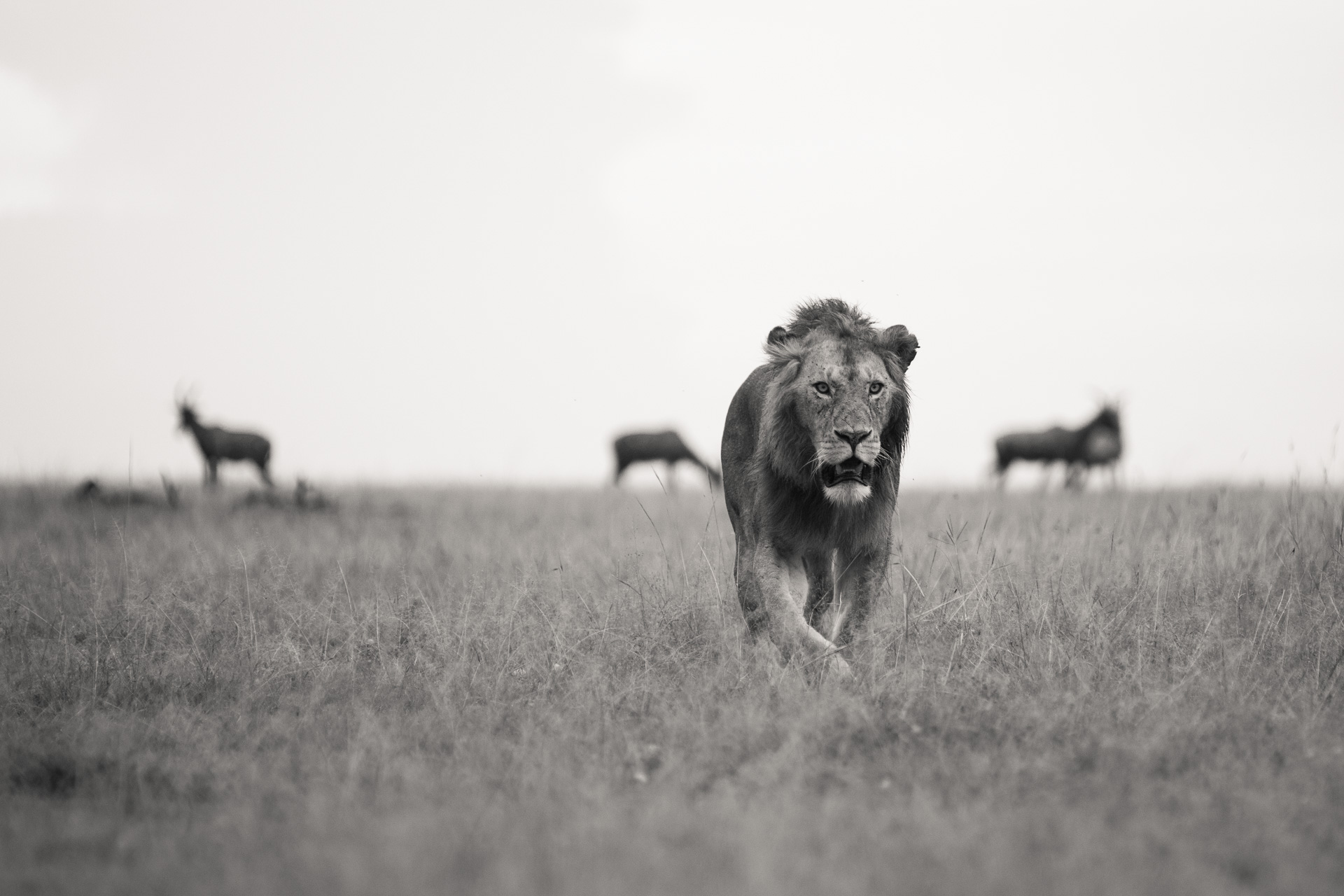 LIon with topi in background