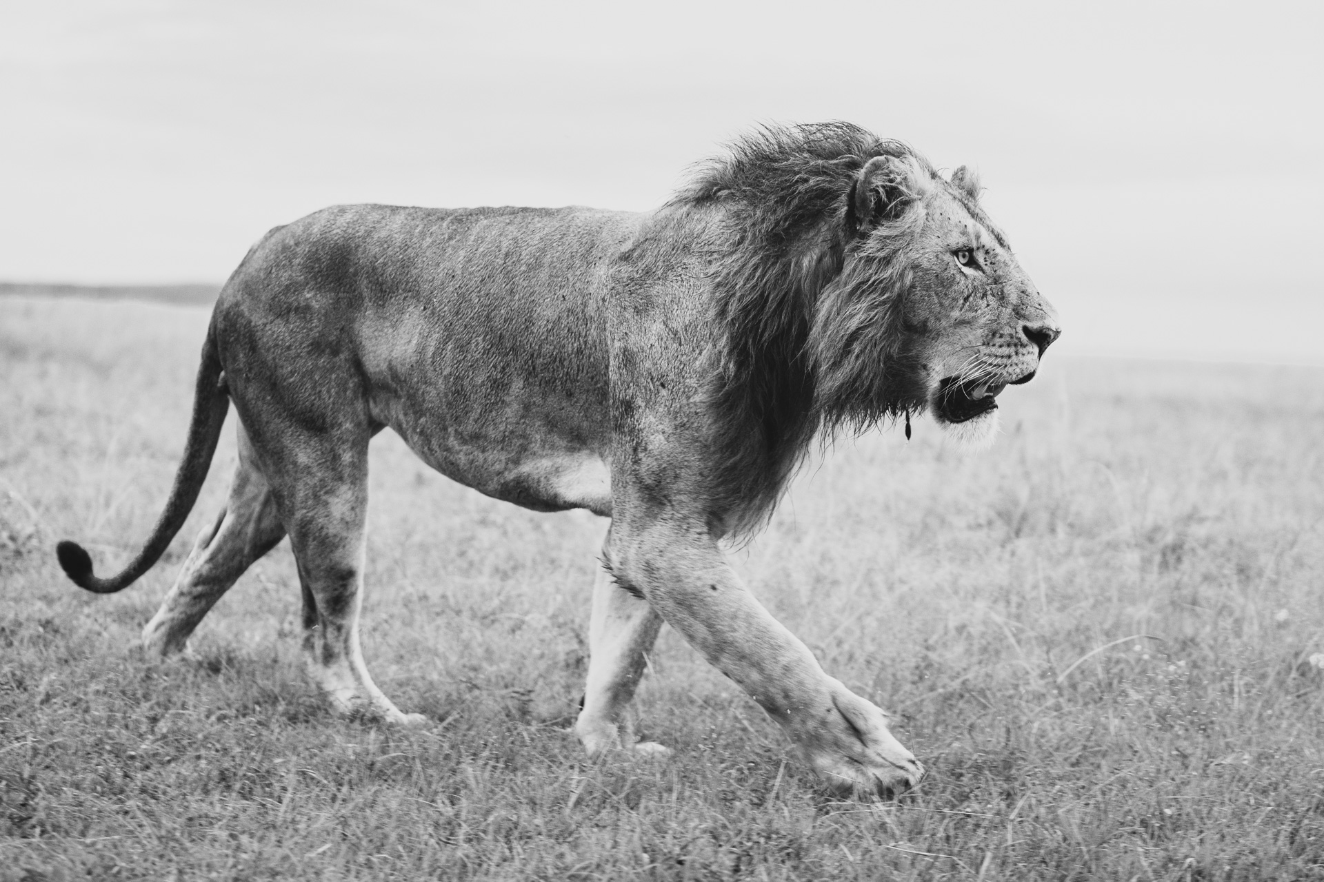lion in bw side on
