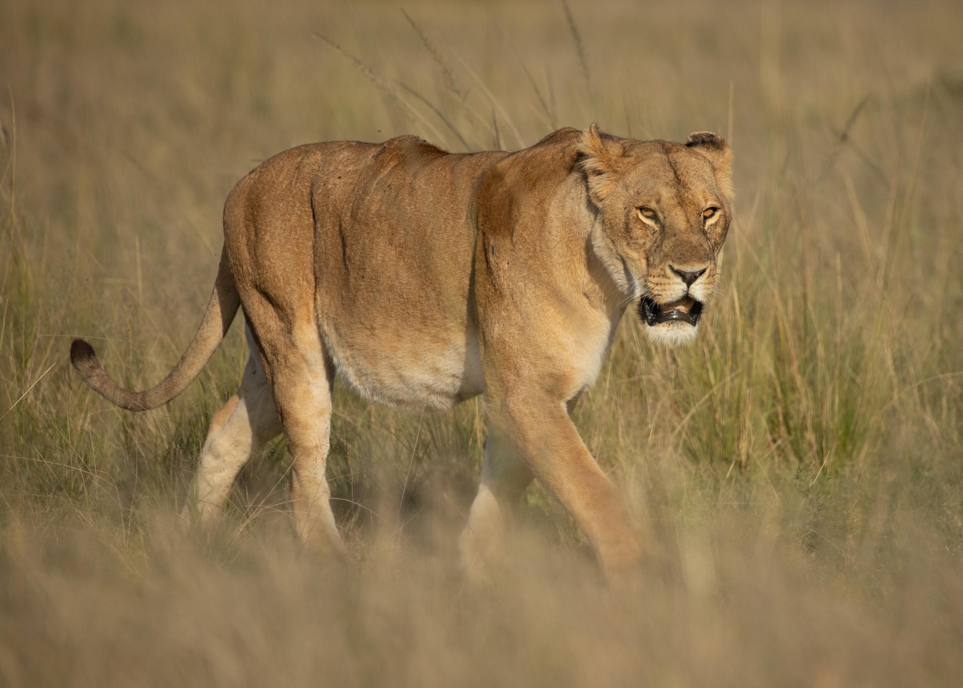 LionessAdam Bannister
