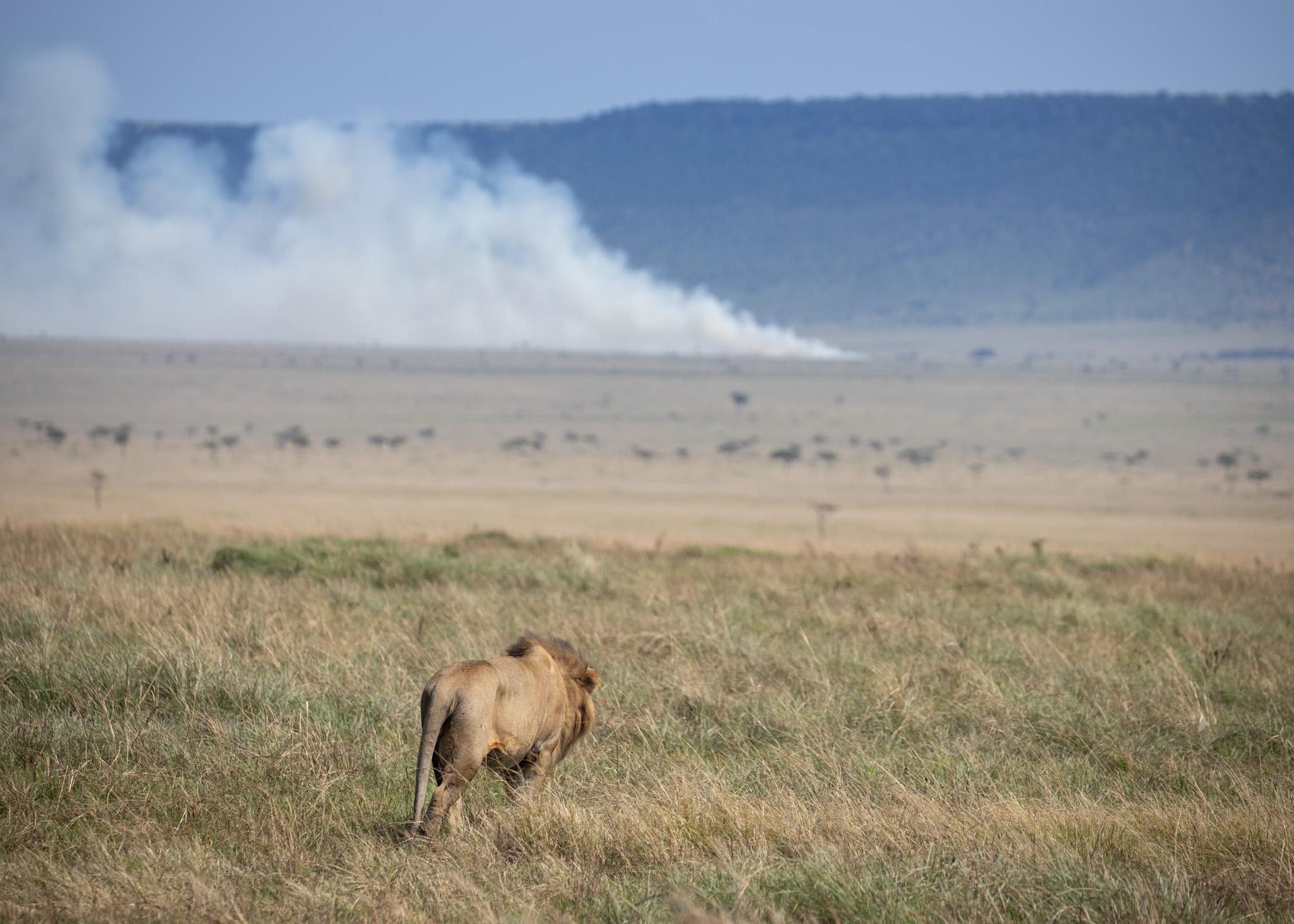 Lion and Smoke