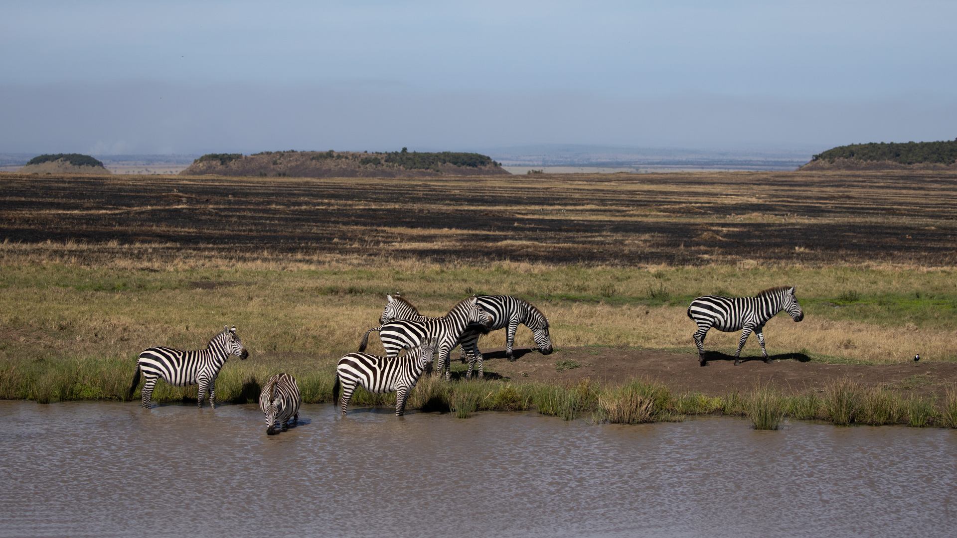 zebra and burtn grass