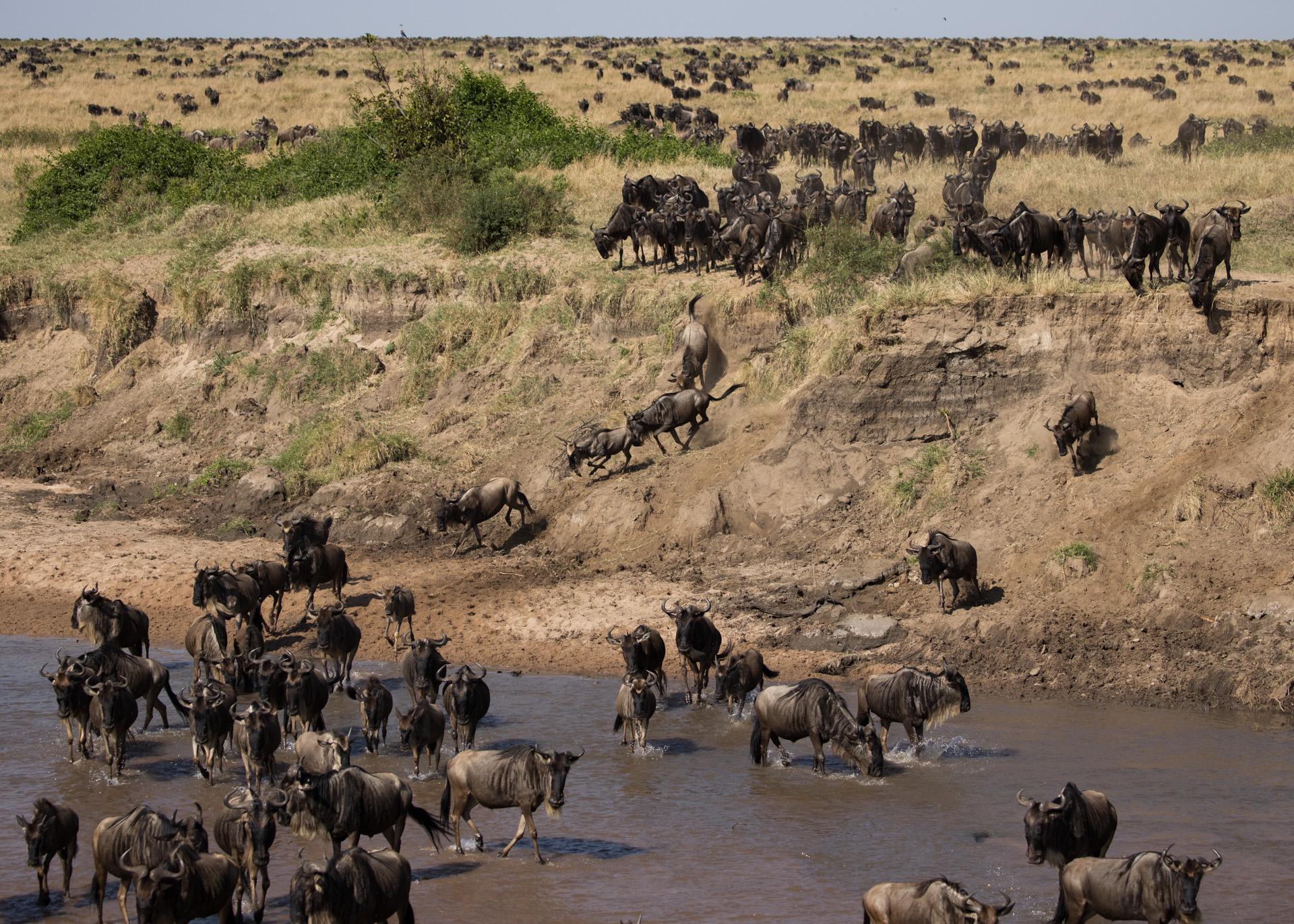 Wildebeest crossing SAnd