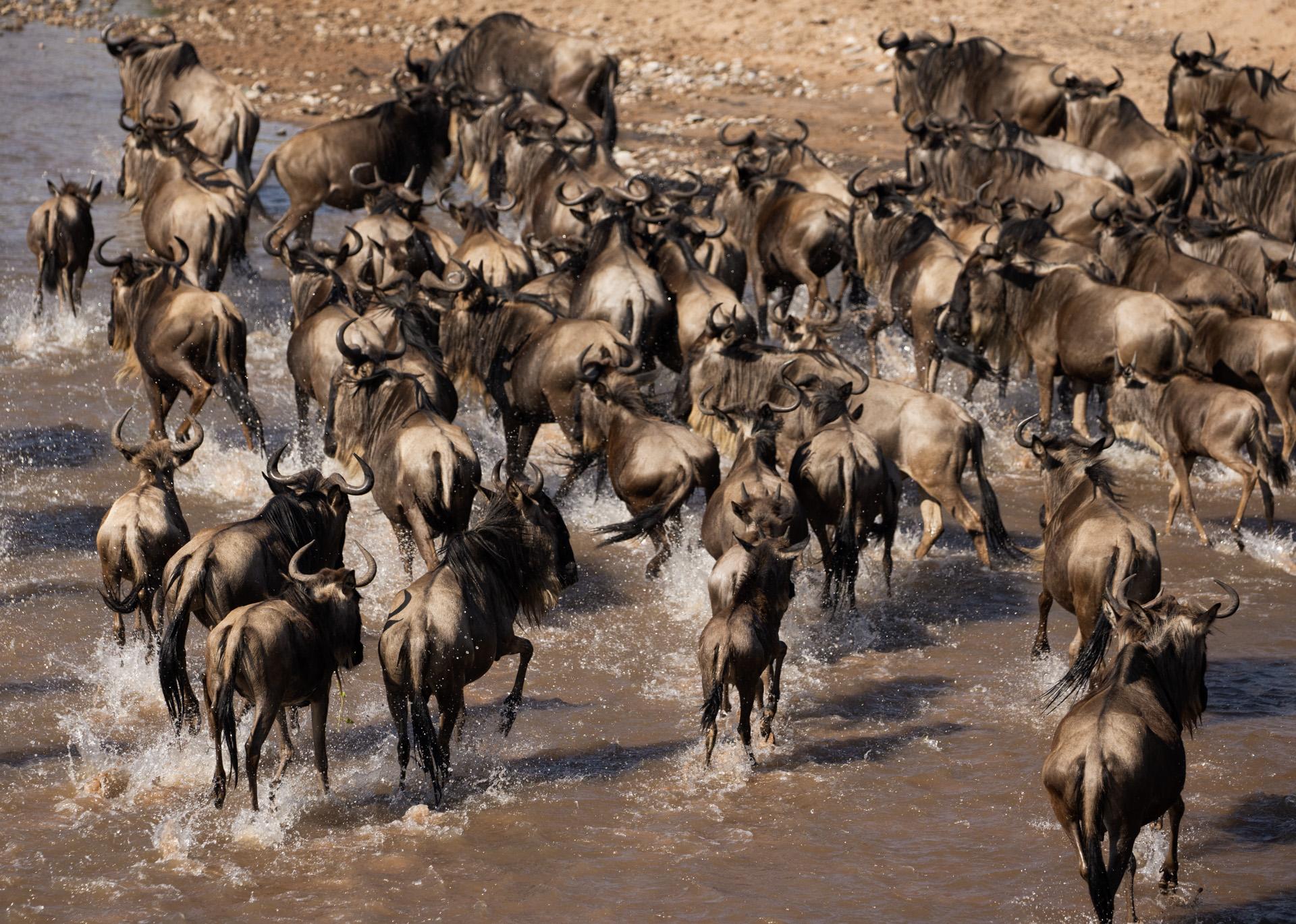 Wildebeest turn around