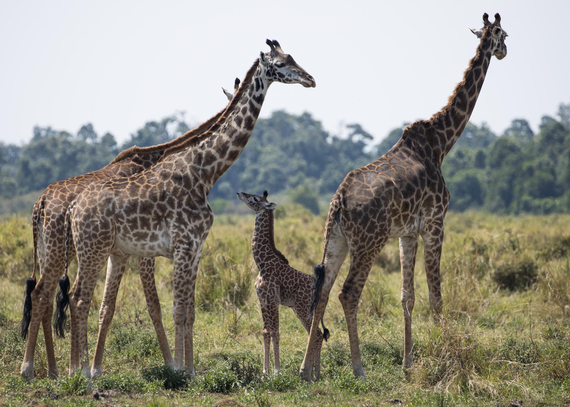 Kenyan Giraffes