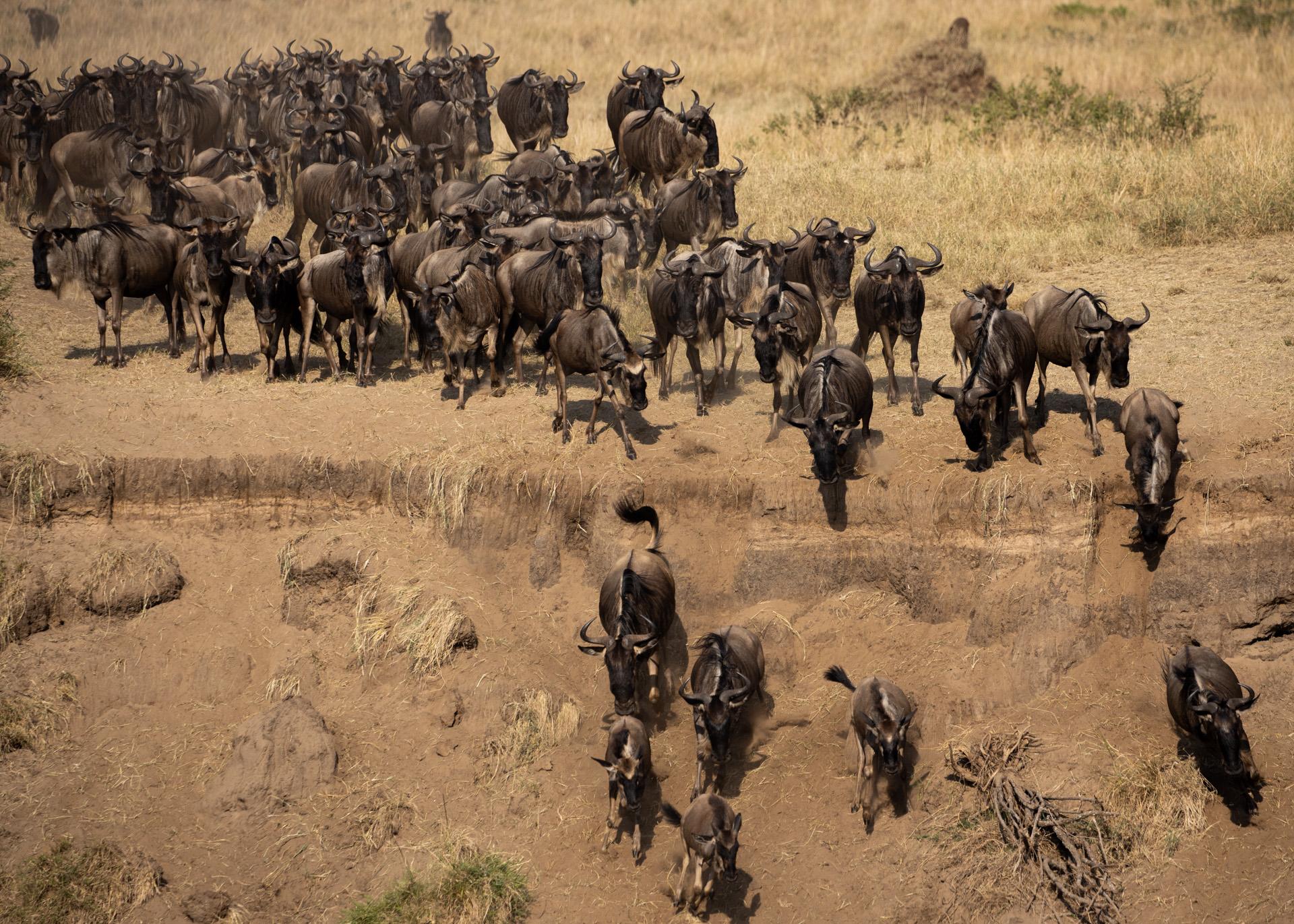 Wildebeest coming down bank