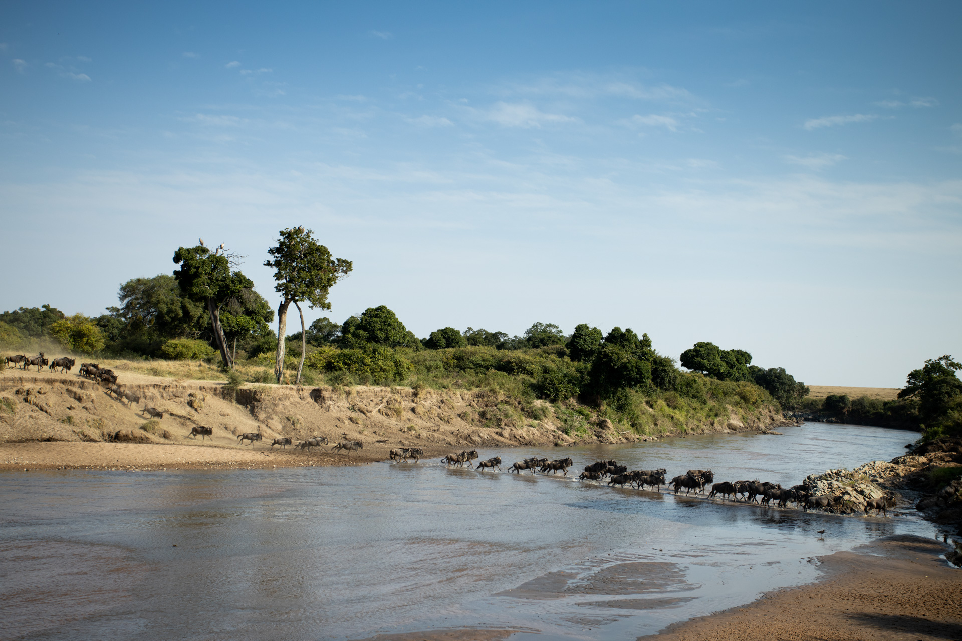 Wildebeest side on river