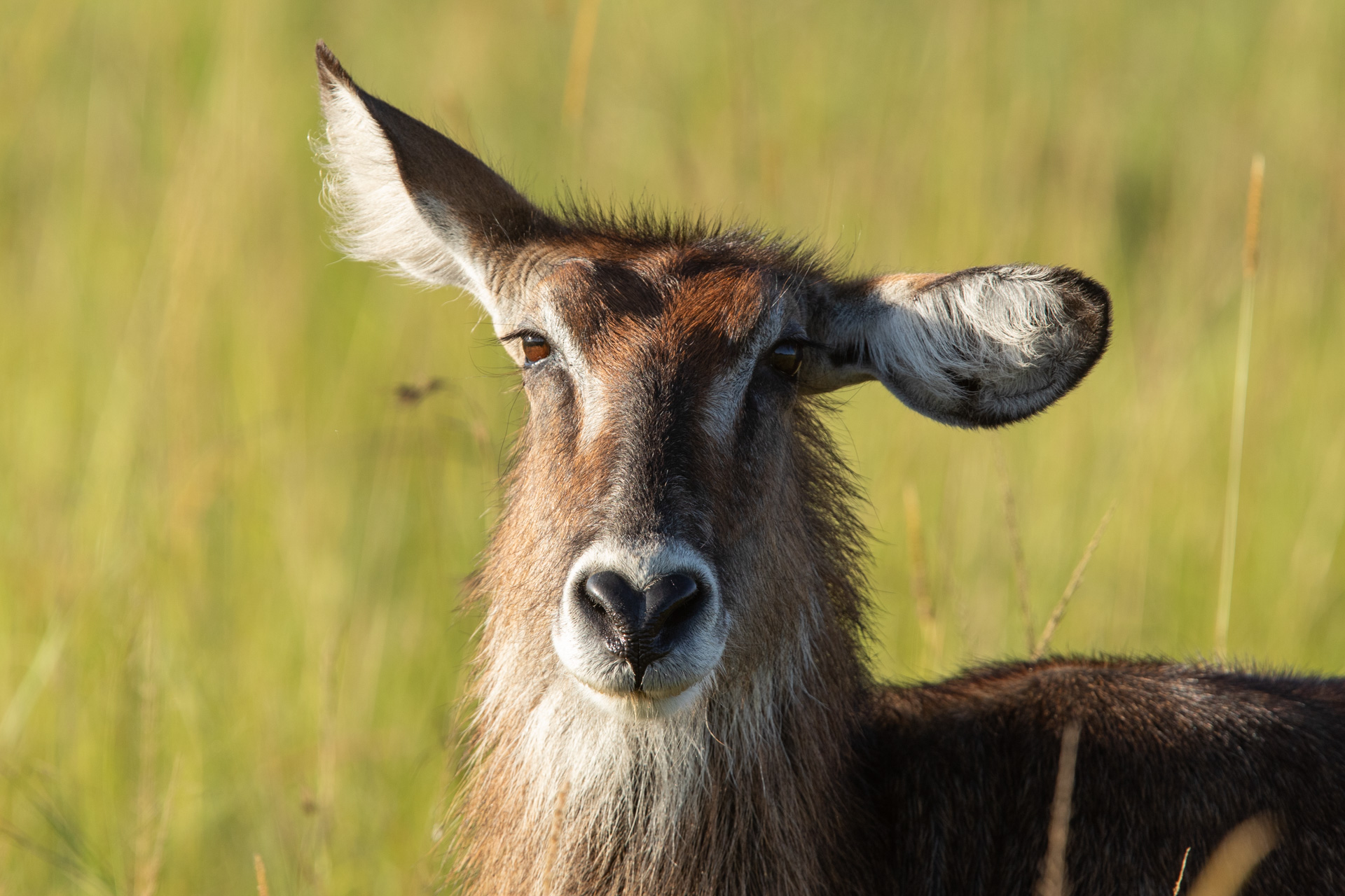 waterbuck with bent ear