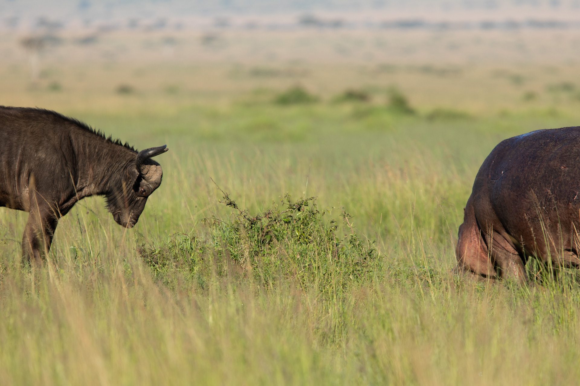 hippo vs buff