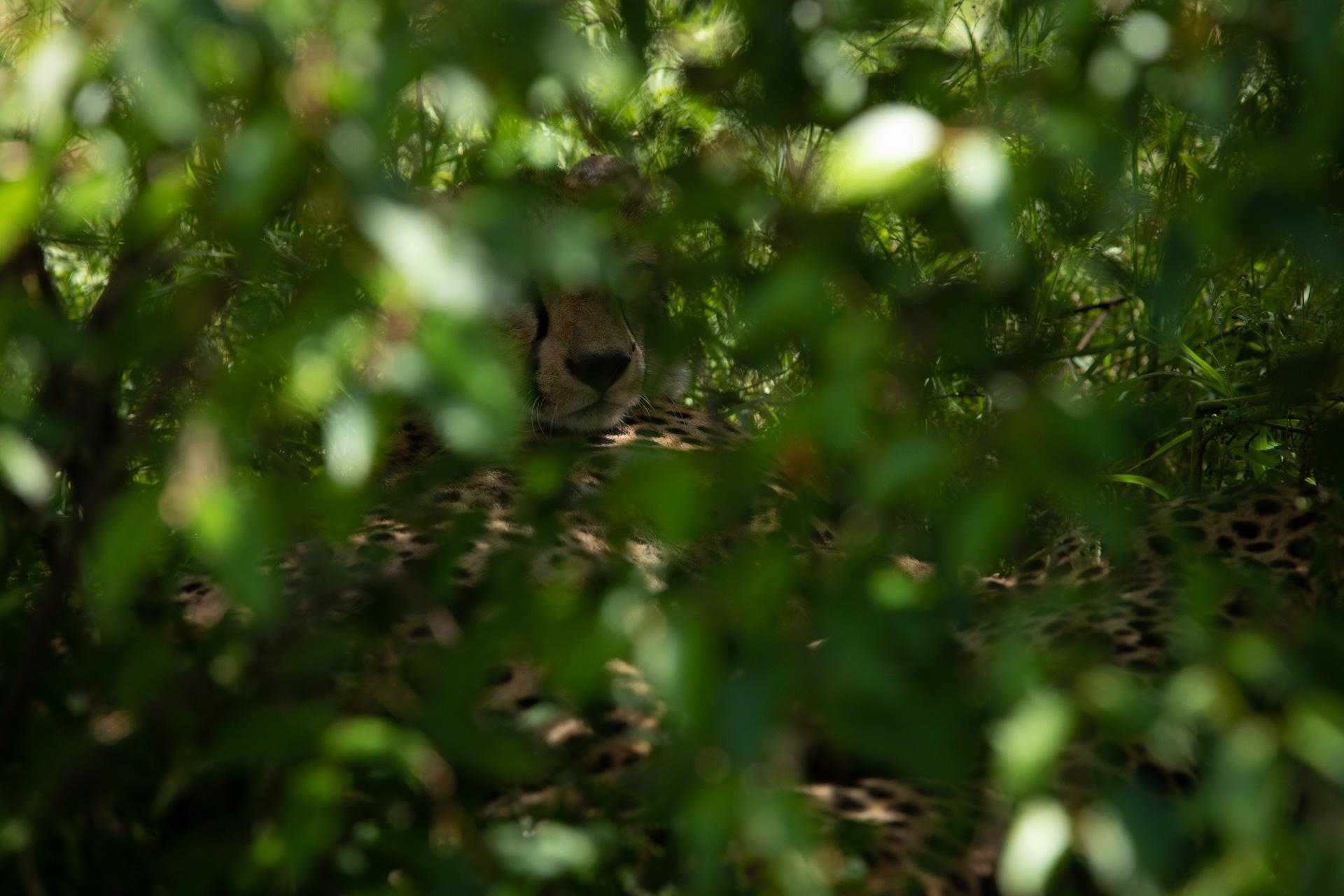 cheetah in thick bush