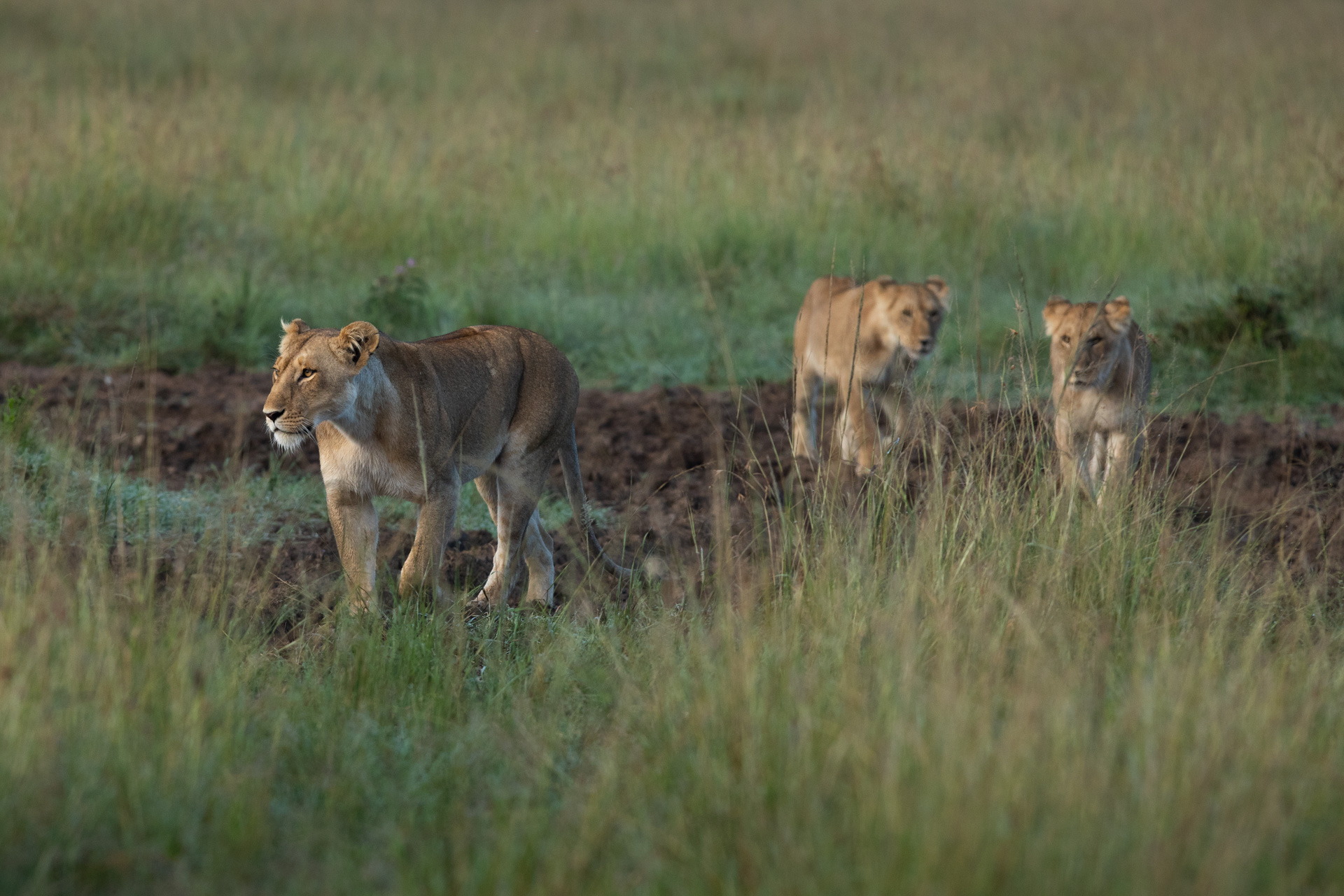 lioness and 2 youngsters