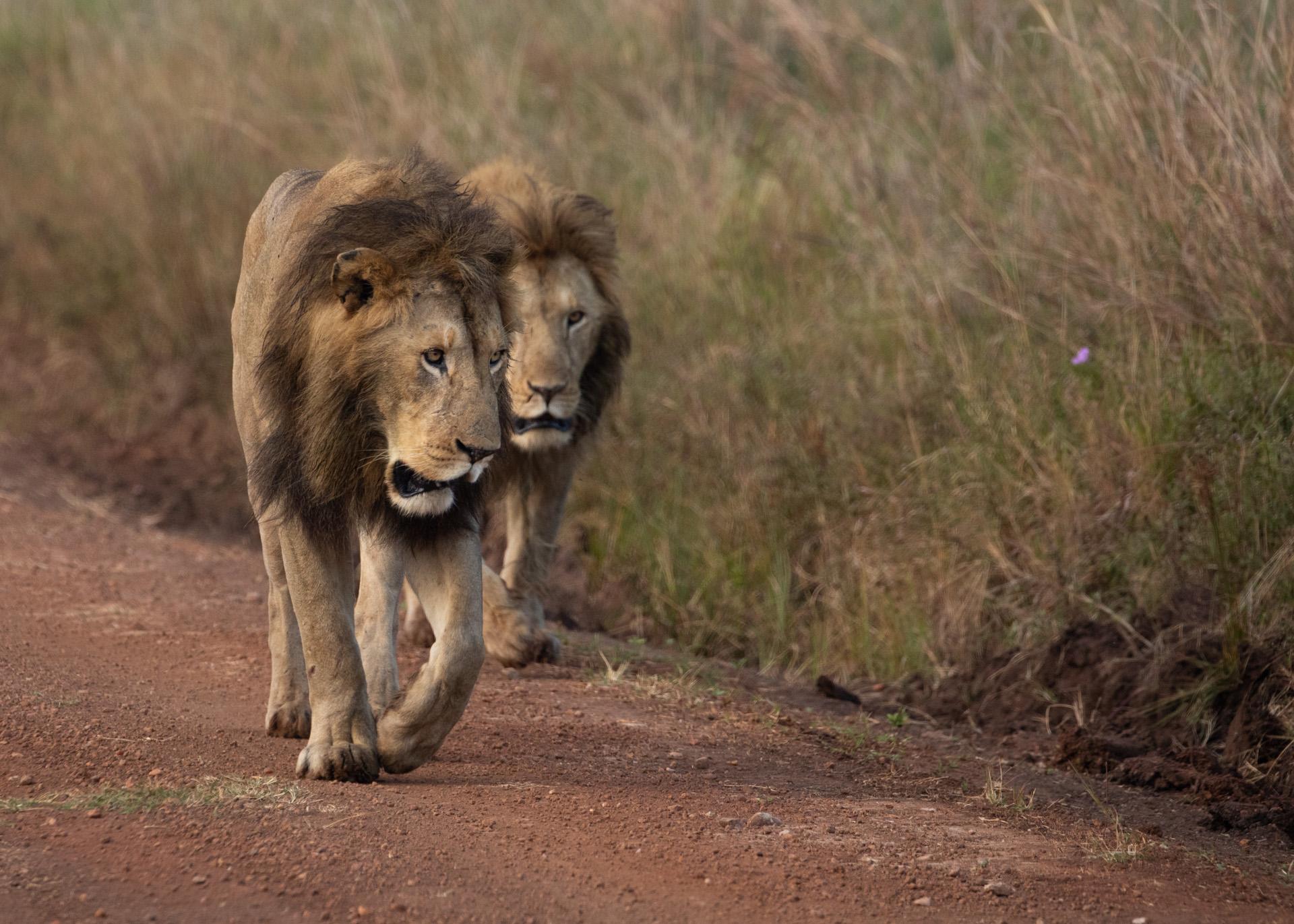 Mara male lion