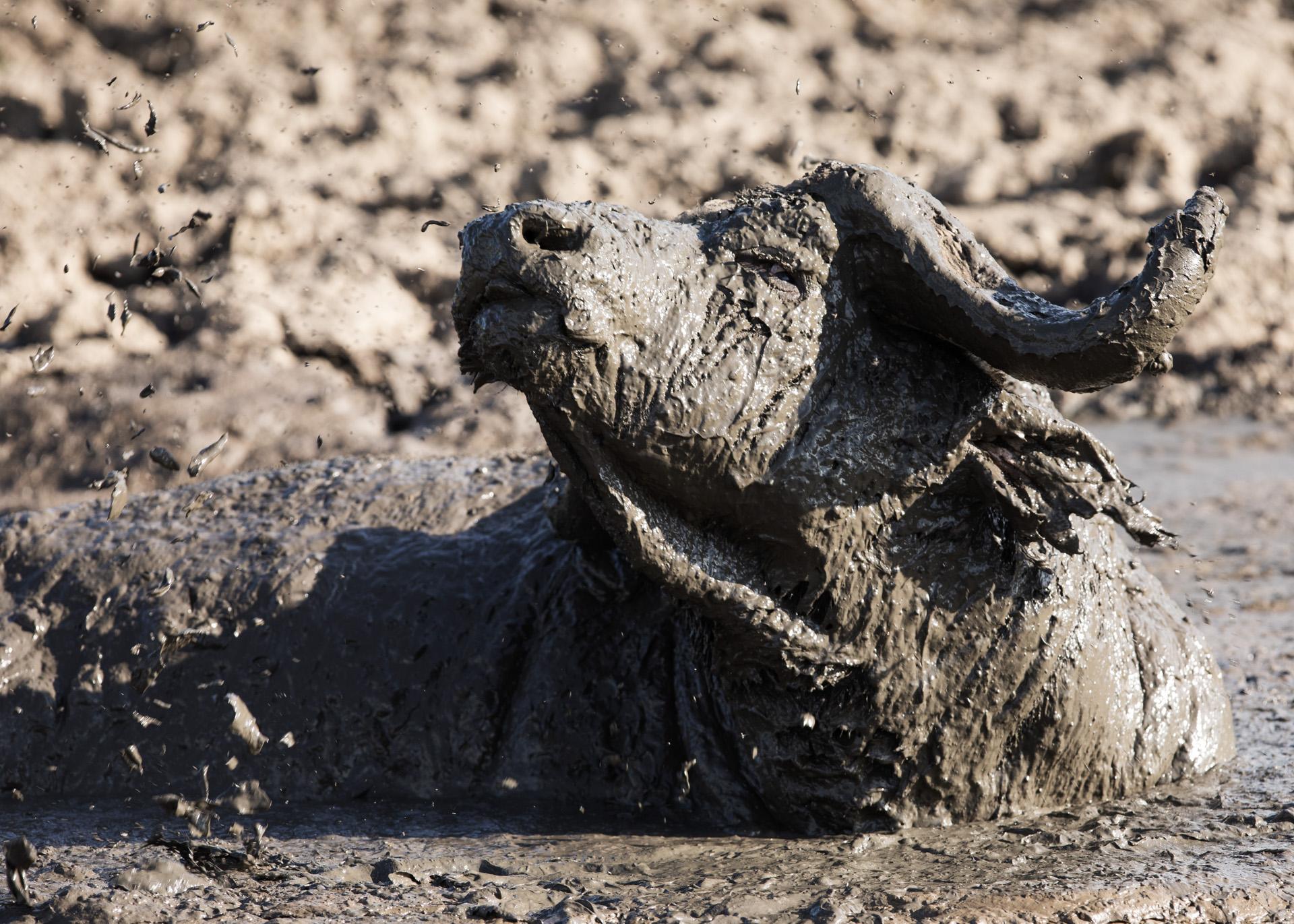 Buffalo in mud