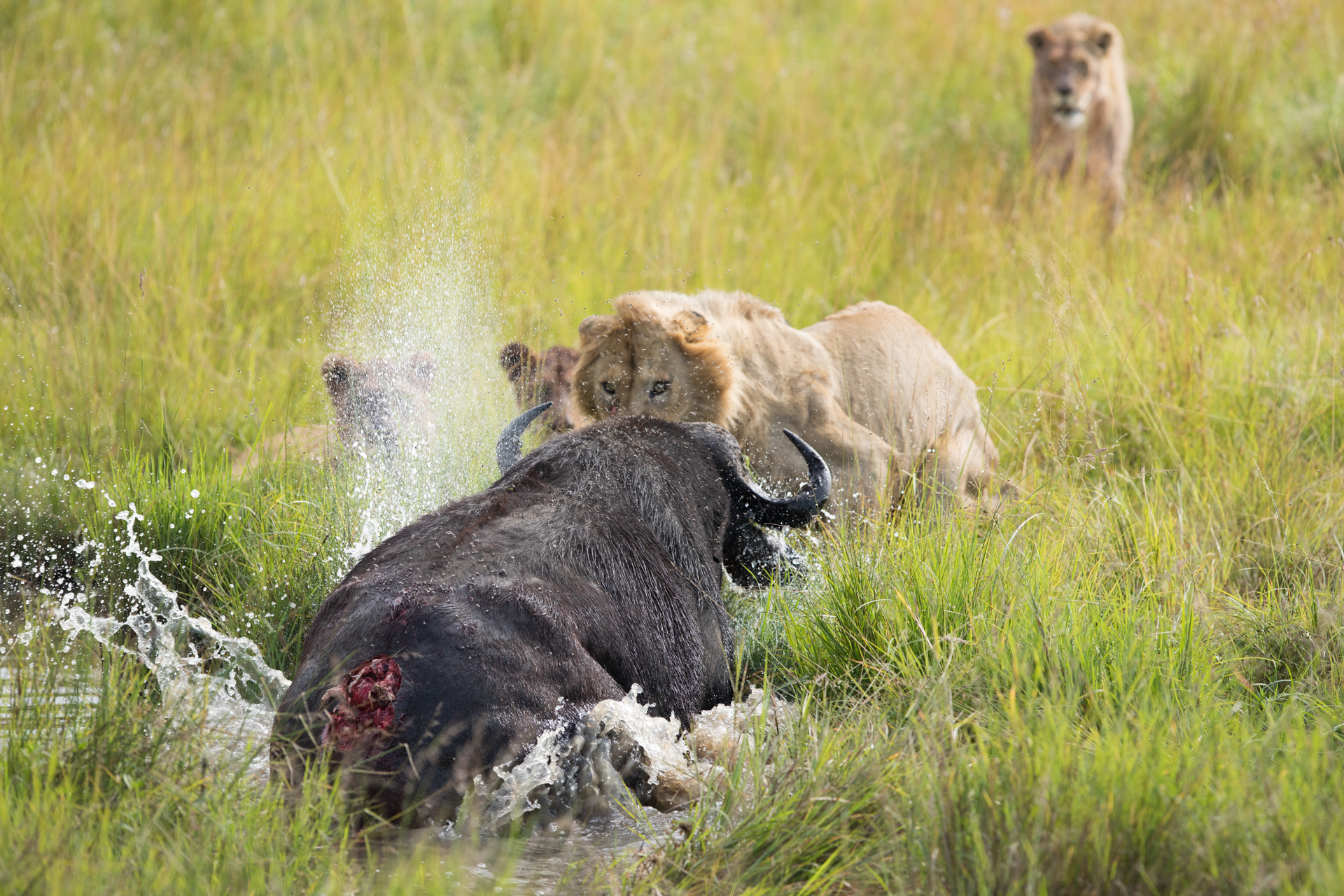 buffalo wounded