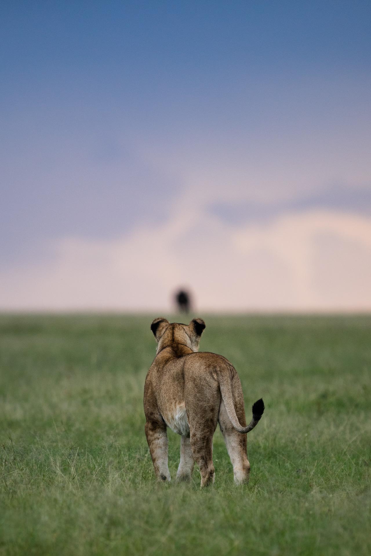 lion back