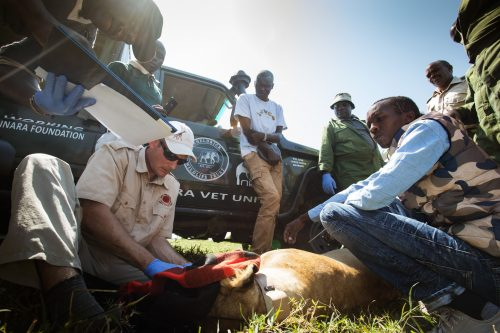 The Mara Predator Conservation Programme and the Angama Foundation working together in the collaring of a lead lioness