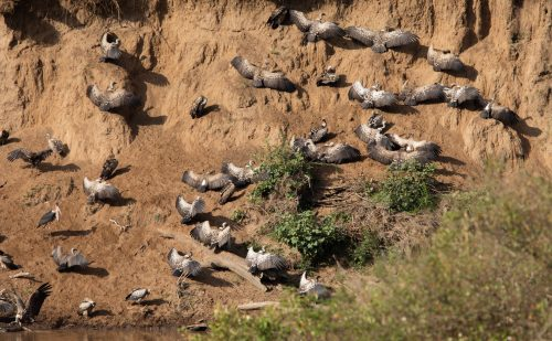 Vultures sun themselves on the banks of the Mara River