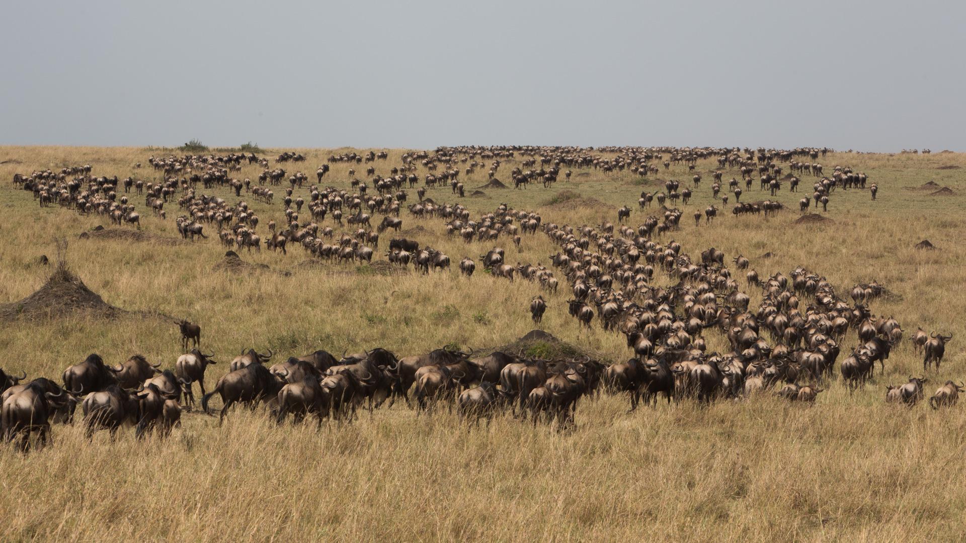 Wildebeest herd from behind