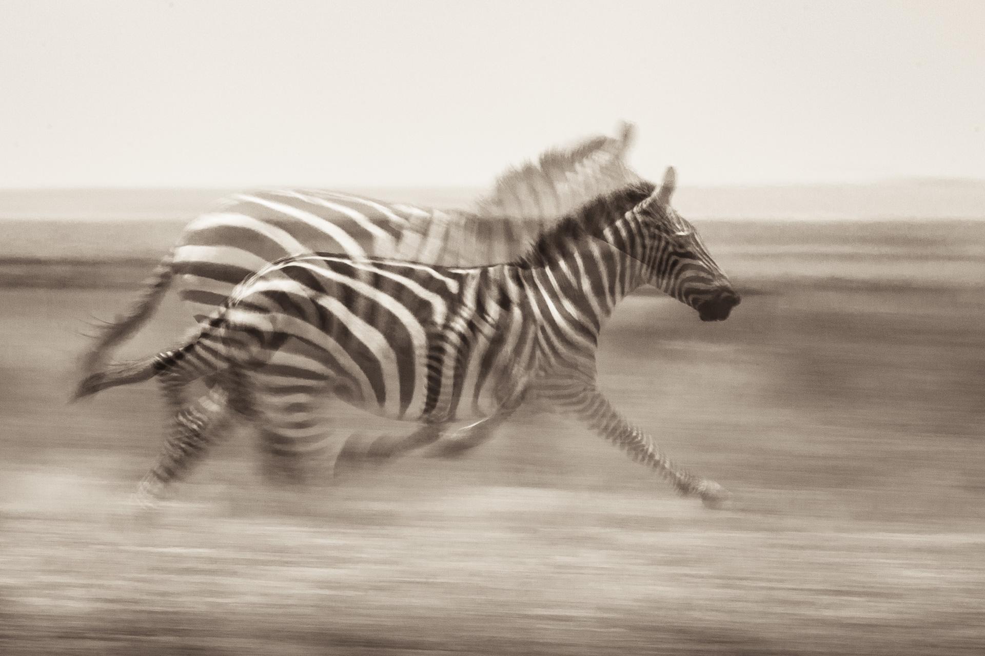 Zebra Blur