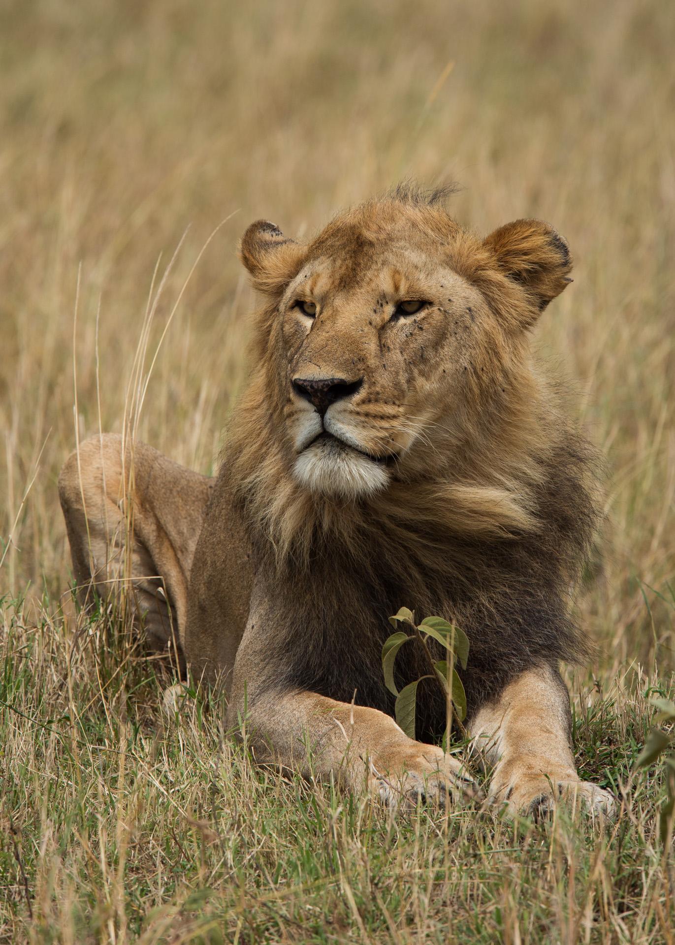 male lion short mane