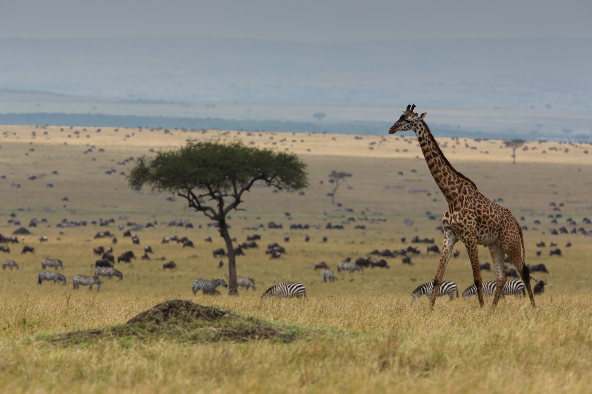 giraffe in the landscape