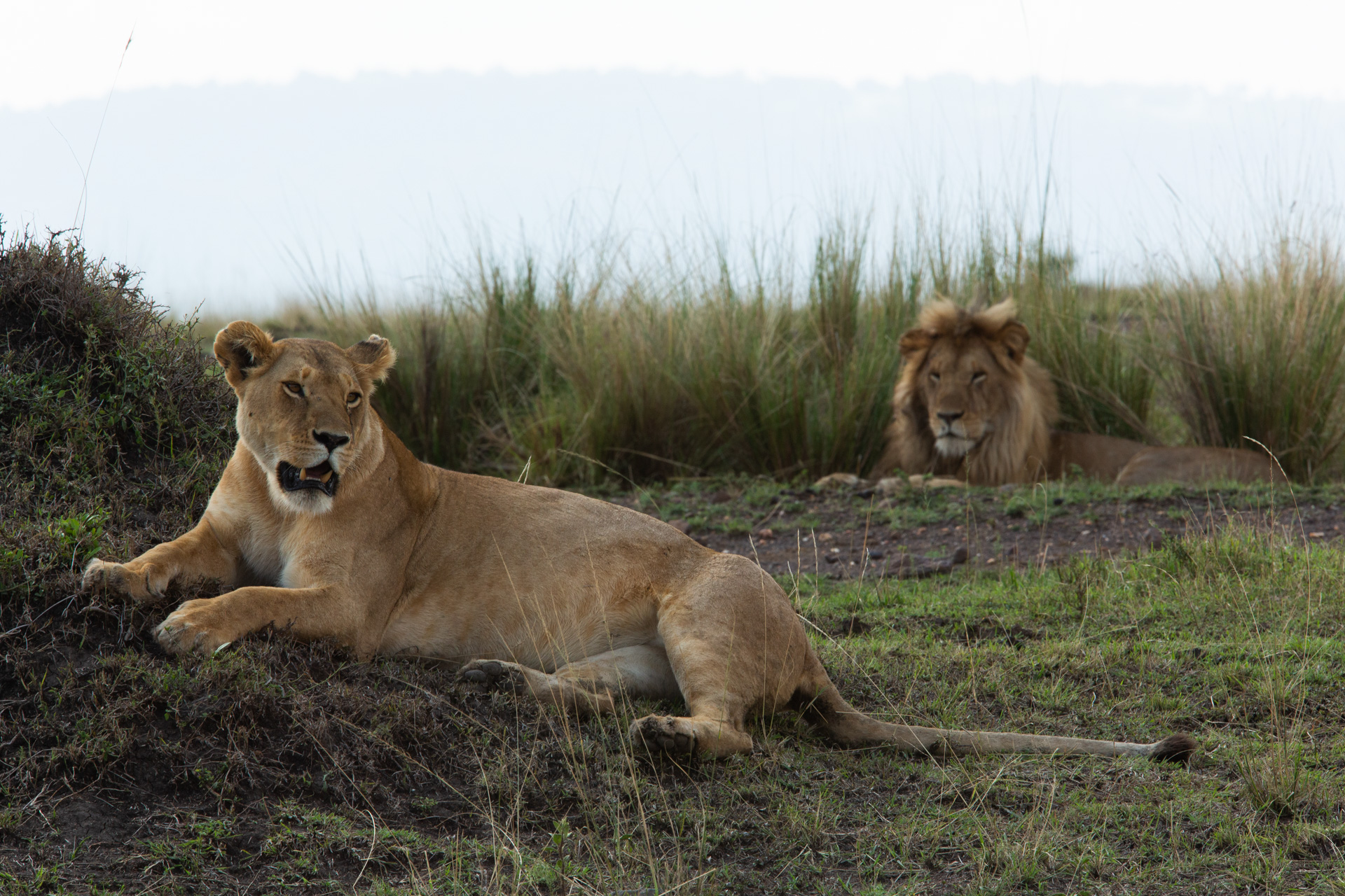 female and male lions