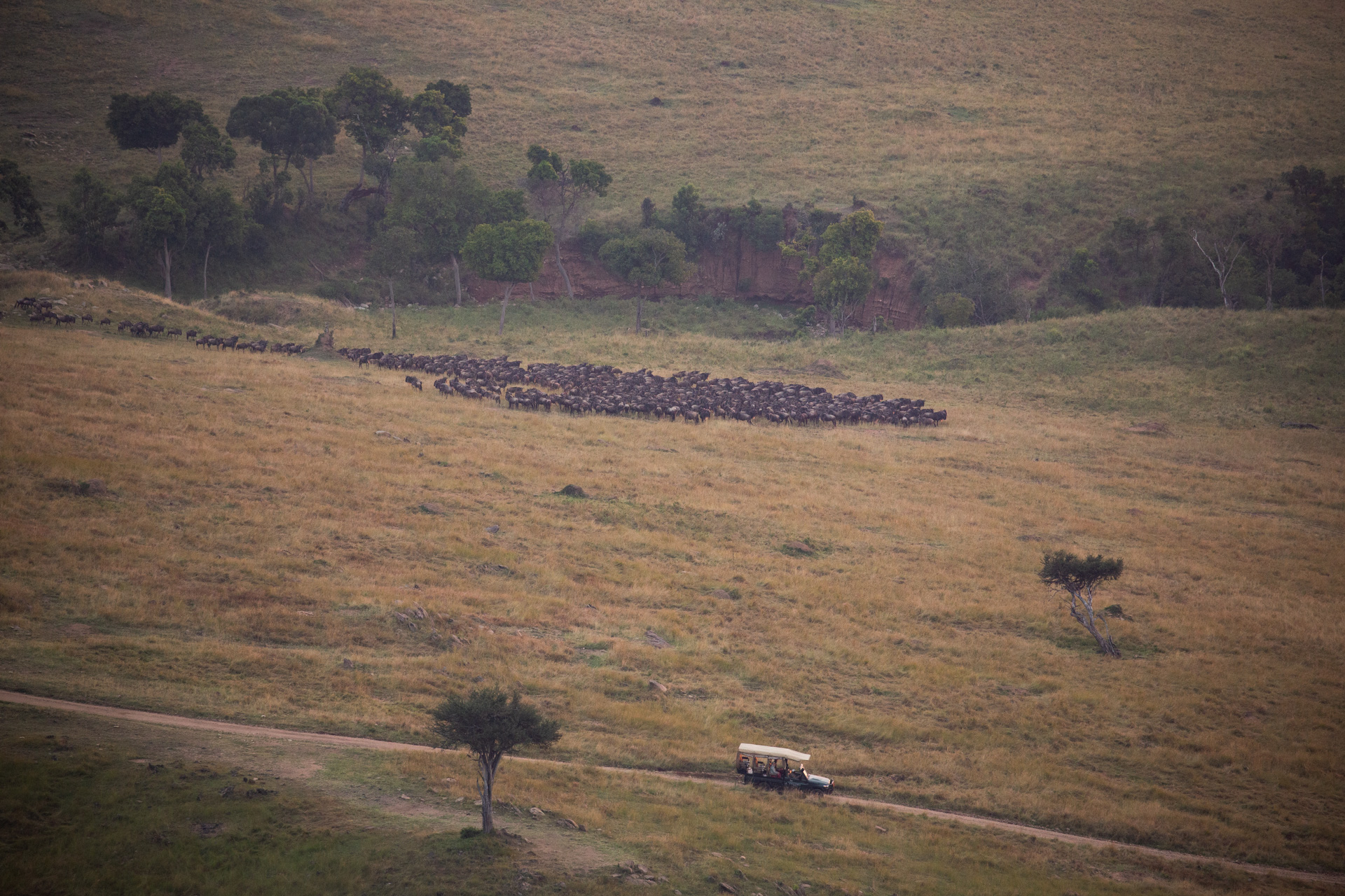 car and wildebeest