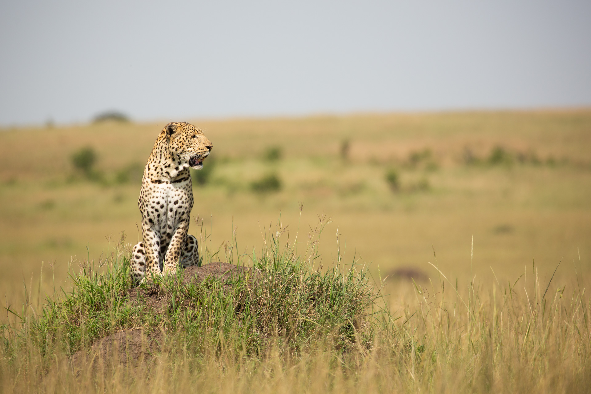 leopard on mound