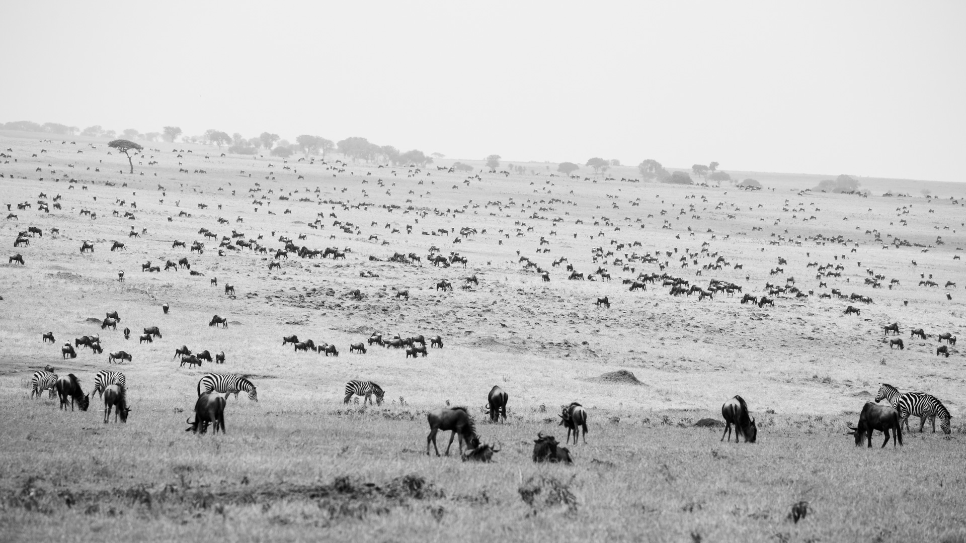 migration black and white