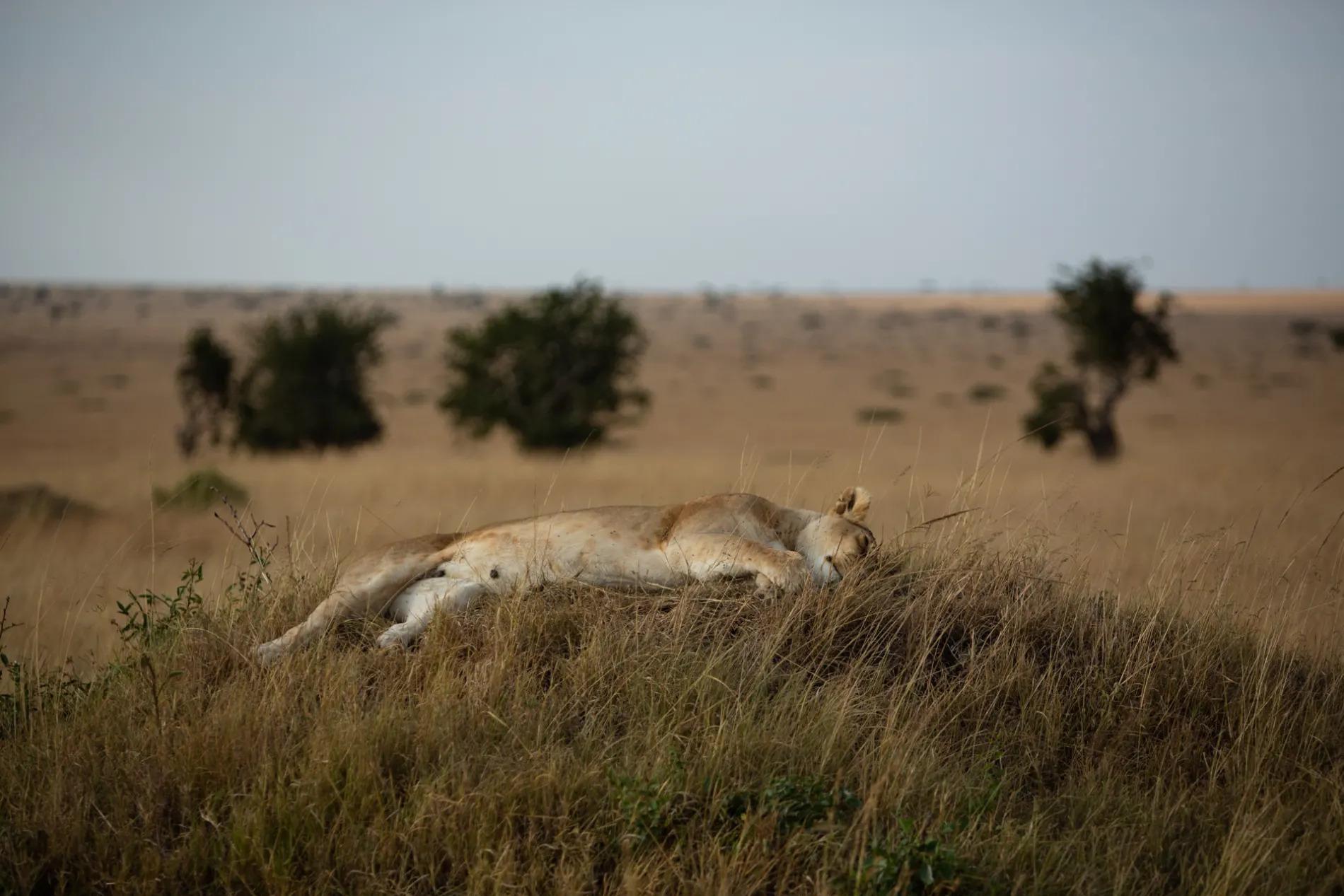 Lioness asleep