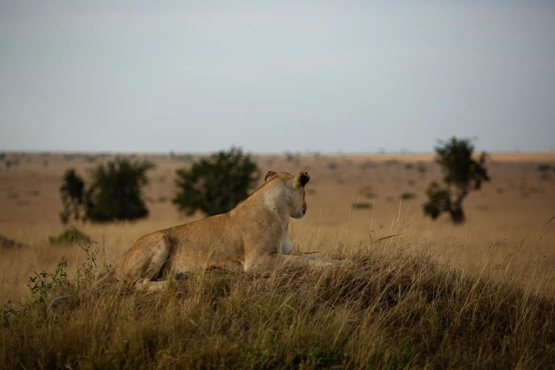 Lioness awake