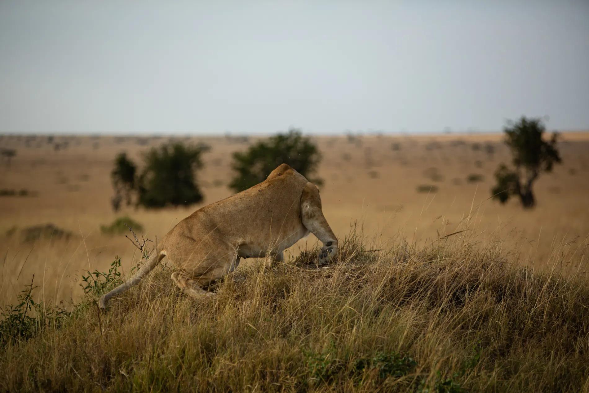 Lioness down